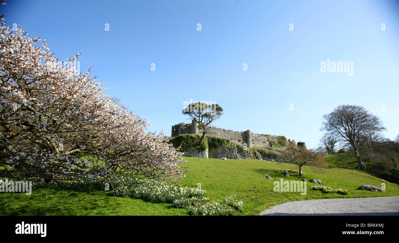 Cherry blossom and pine at Penrice estate Gower Peninsula Wales UK with thirteenth century Penrice Castle in the - Stock Image