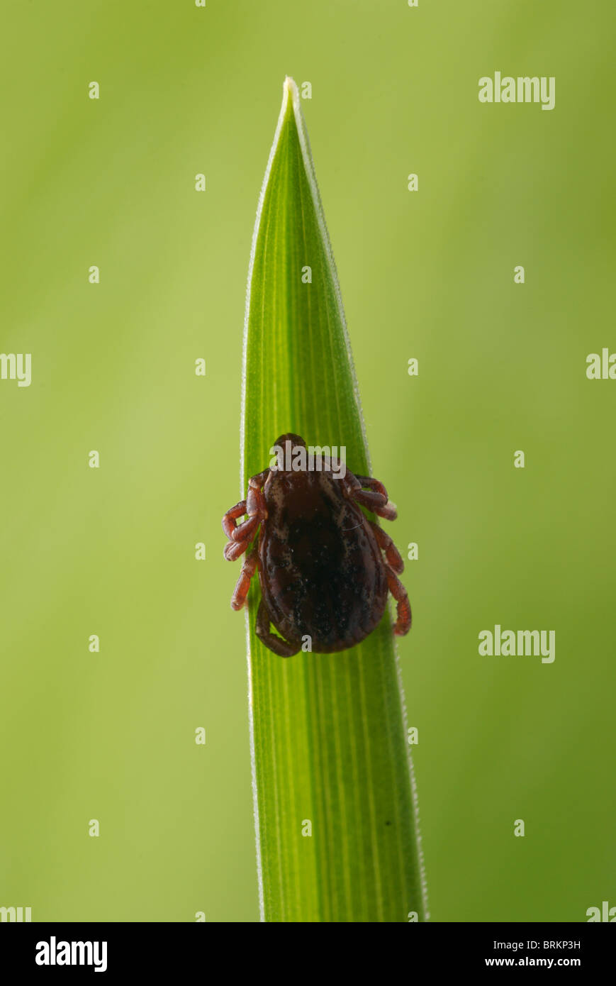 American dog tick, Dermacentor variablis, clings to a blade of grass. - Stock Image