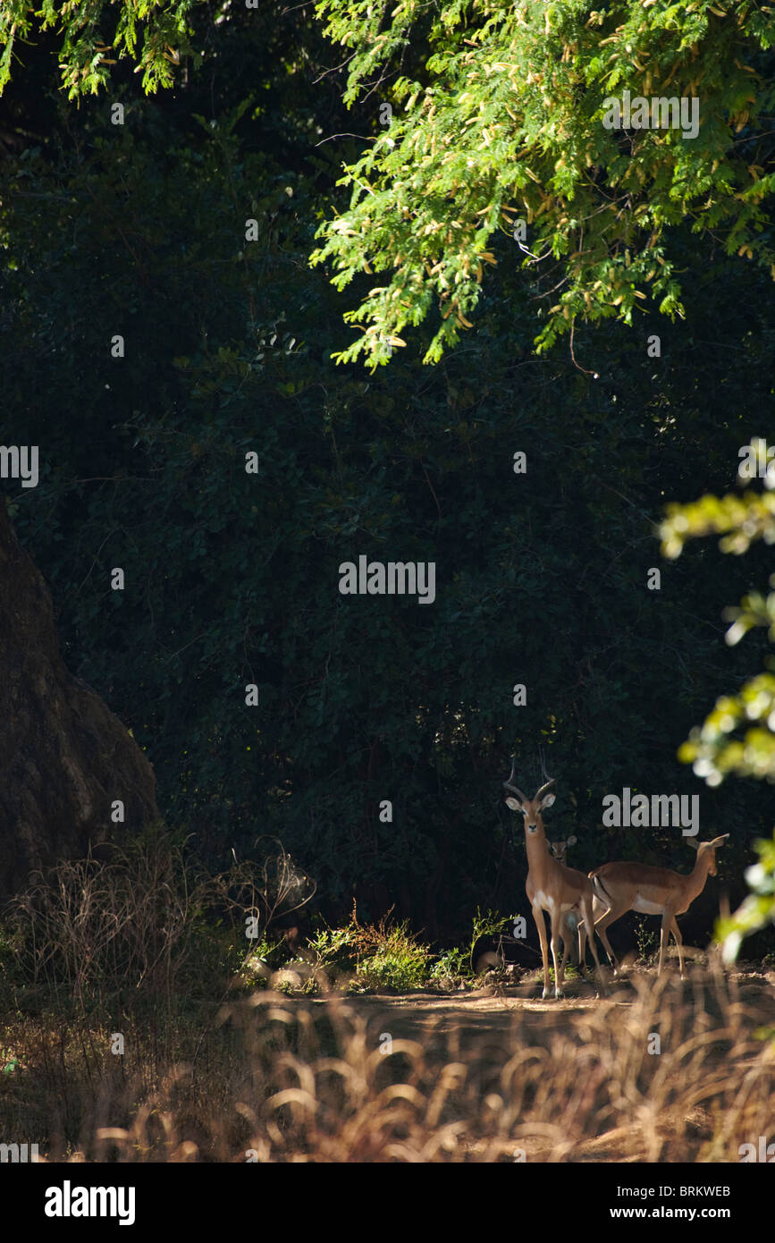 Impala ram looking alert in a shady glade - Stock Image
