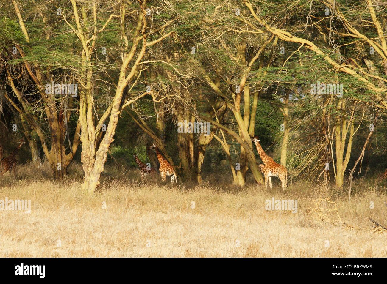 Rothschilds giraffe in fever tree forest - Stock Image