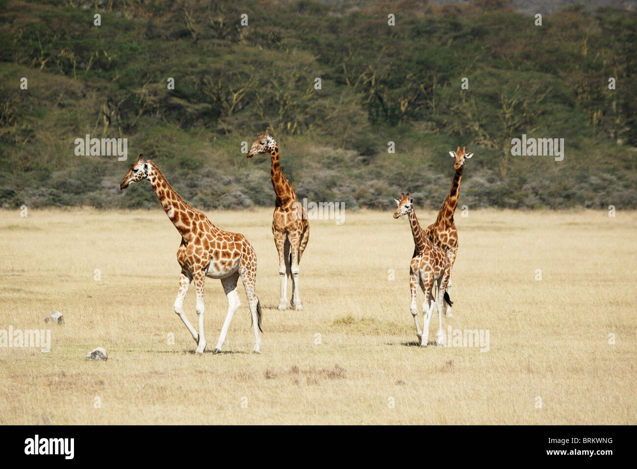 Herd of Rothschild giraffe - Stock Image