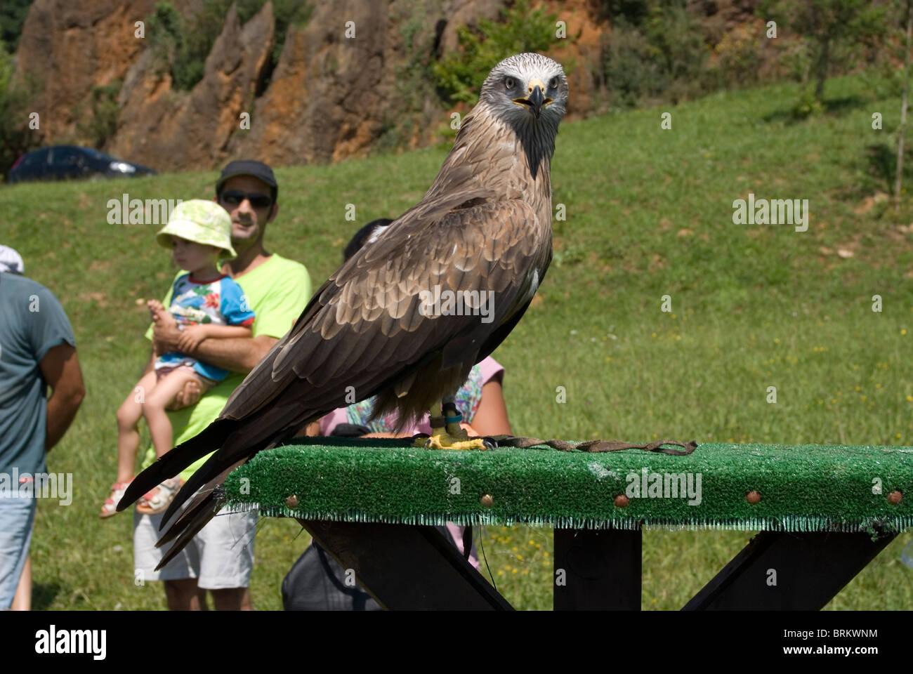 Black Kite (Milvus migrans) at a falconry exhibition. - Stock Image