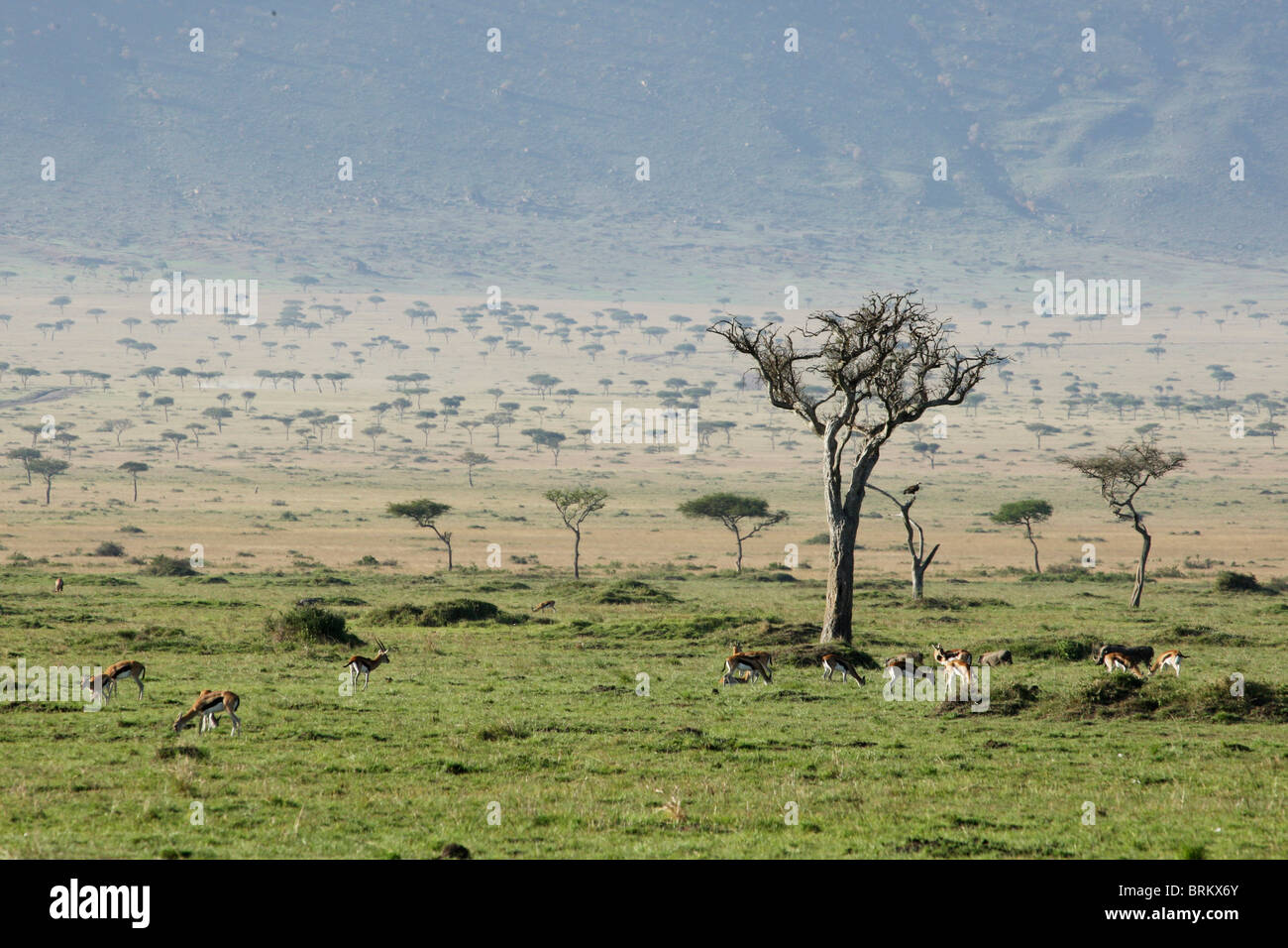 Herd of Thompson gazelle grazing on the Masai Mara plains - Stock Image