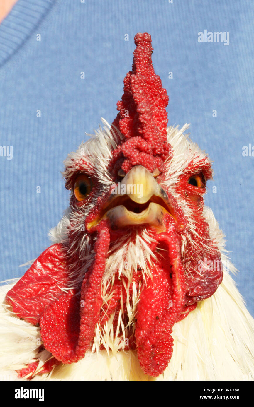 Portrait of a domestic Chicken with large wattles and comb - Stock Image