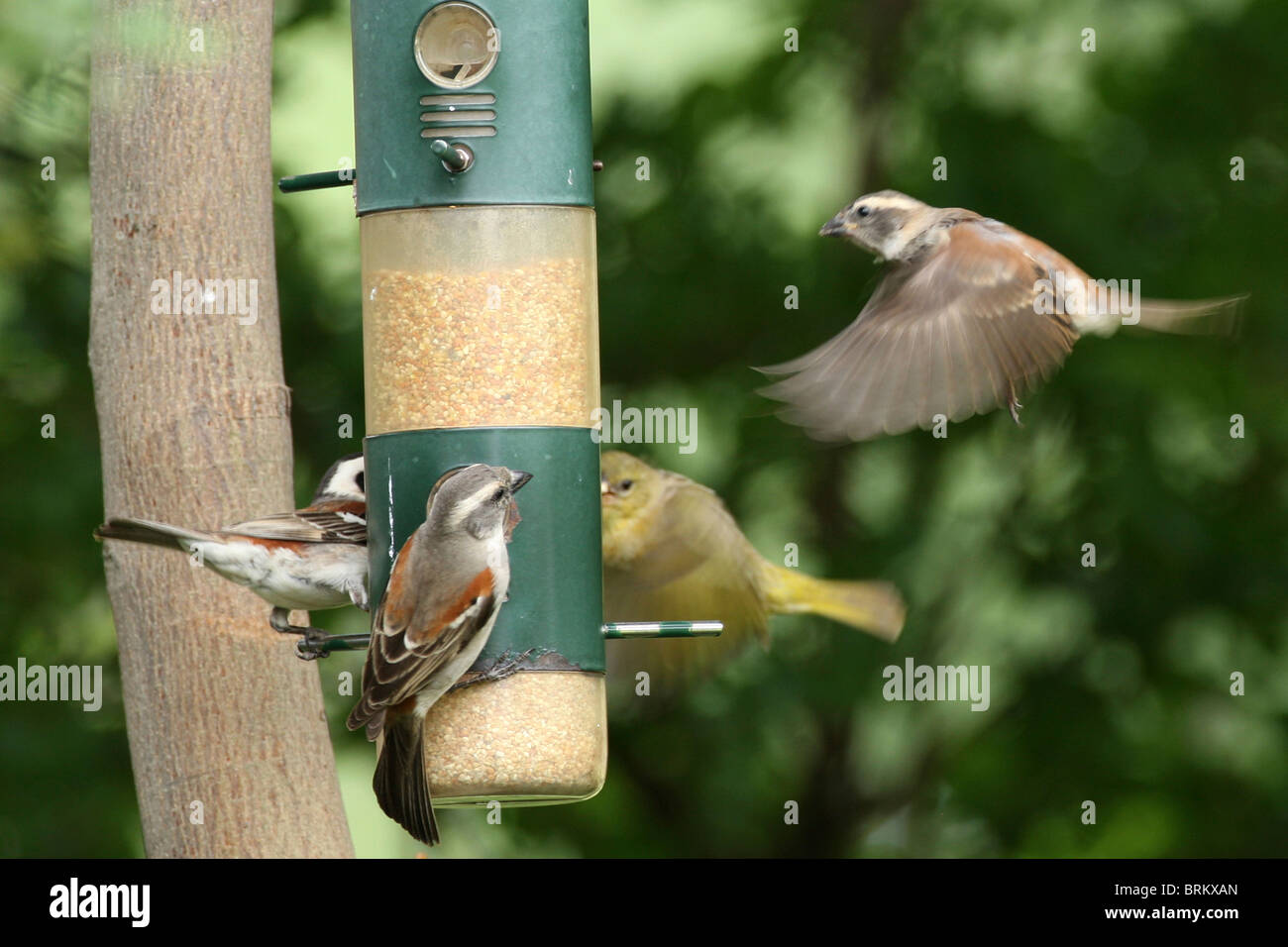 Grey-headed sparrows at bird-feeder with one about to land and another in flight - Stock Image