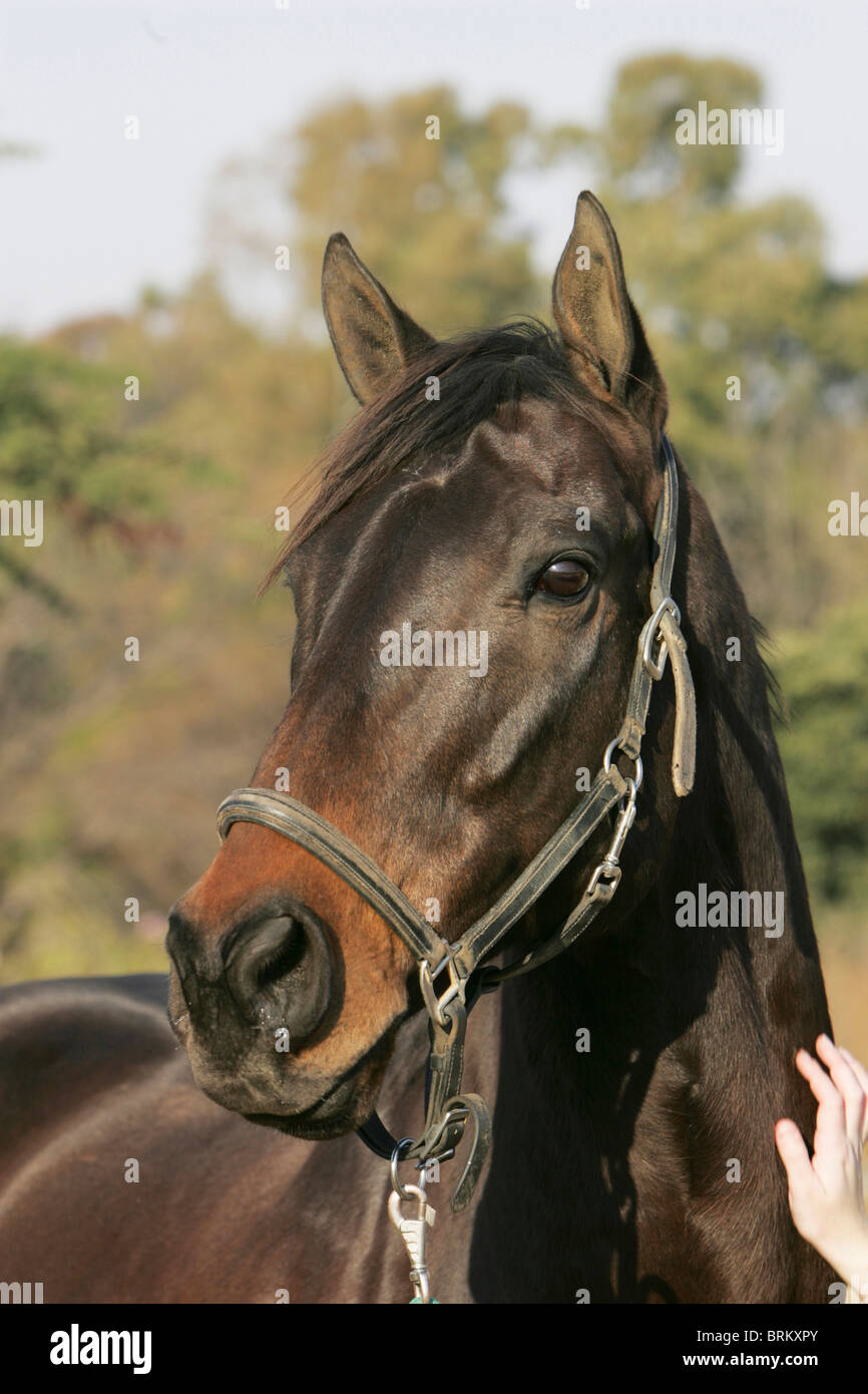 Portrait of a bay horse - Stock Image