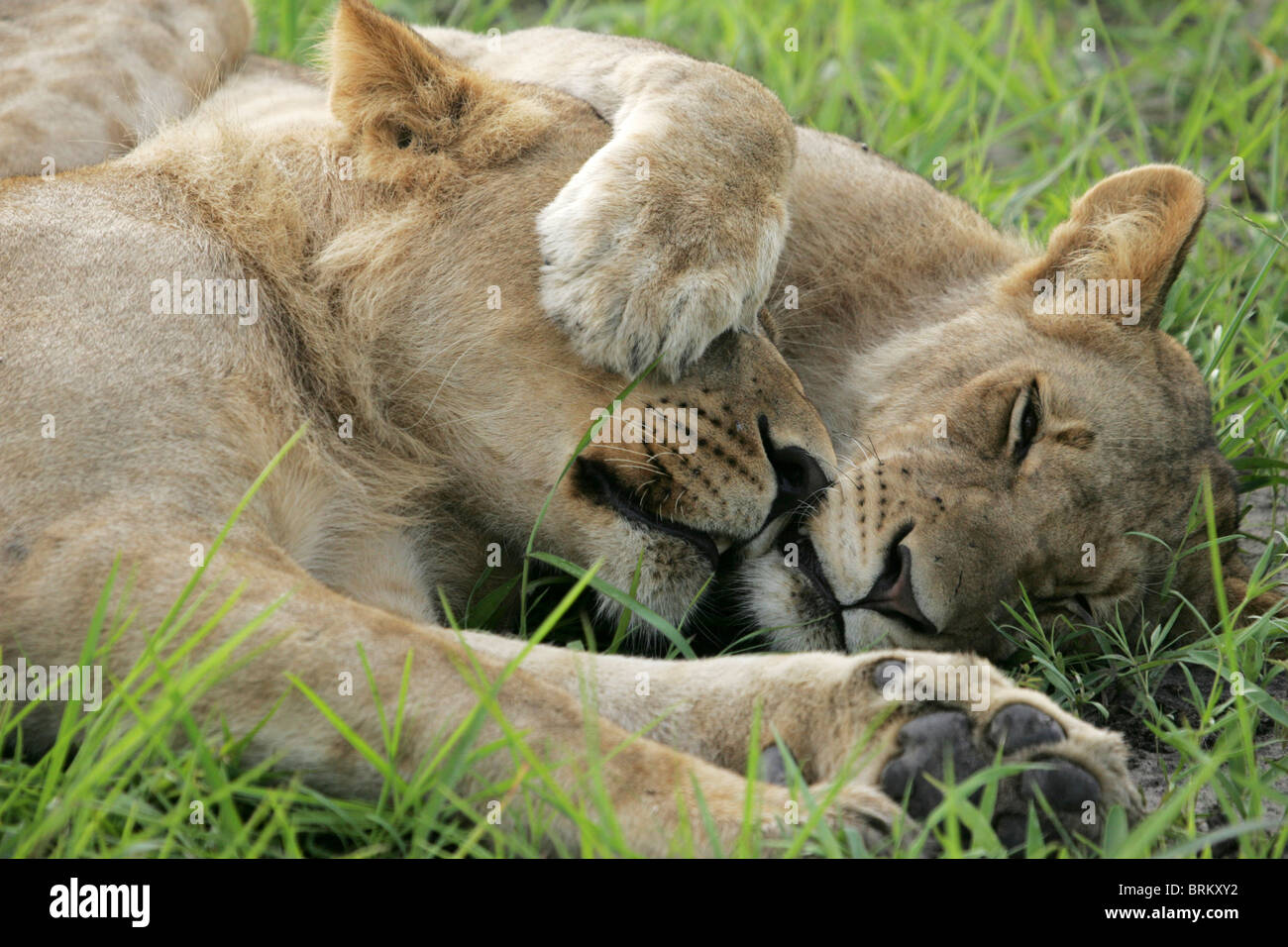 Lioness with paw over the eye of another resting in green grass - Stock Photo