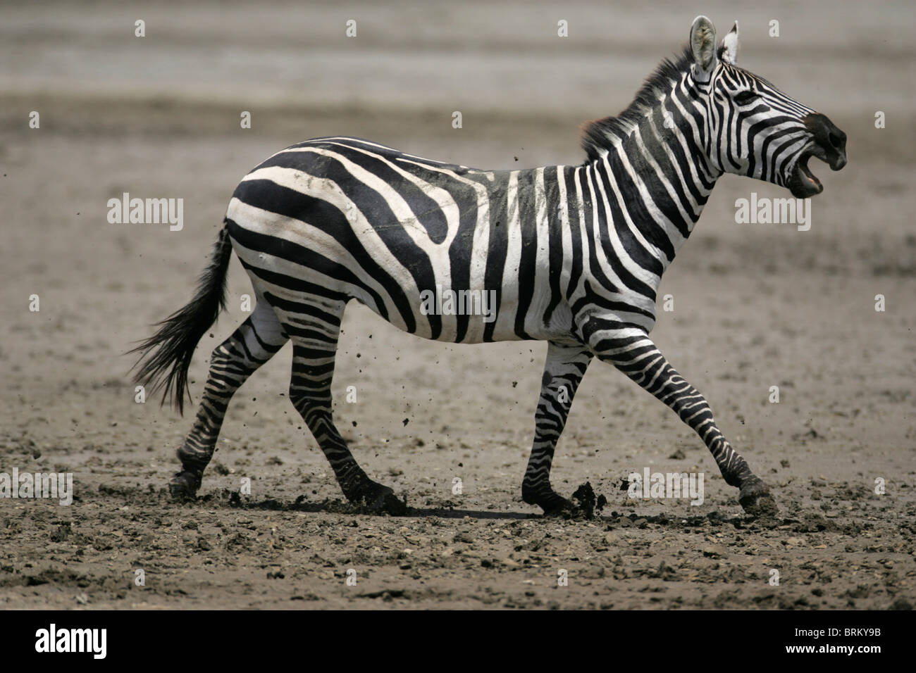 Running zebra calling with its mouth wide open - Stock Image