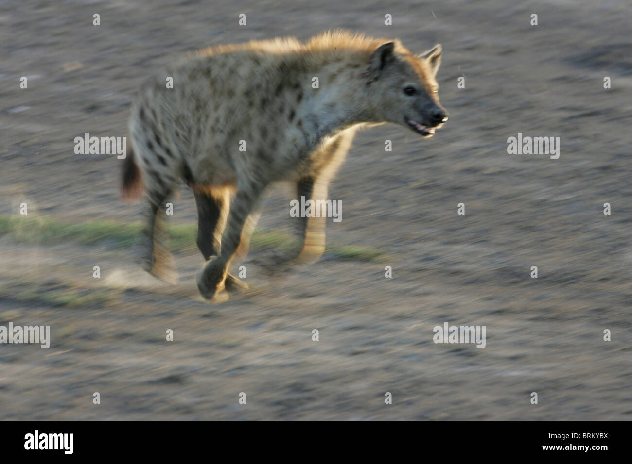 Spotted hyena on the run in the dust and fading light - Stock Image