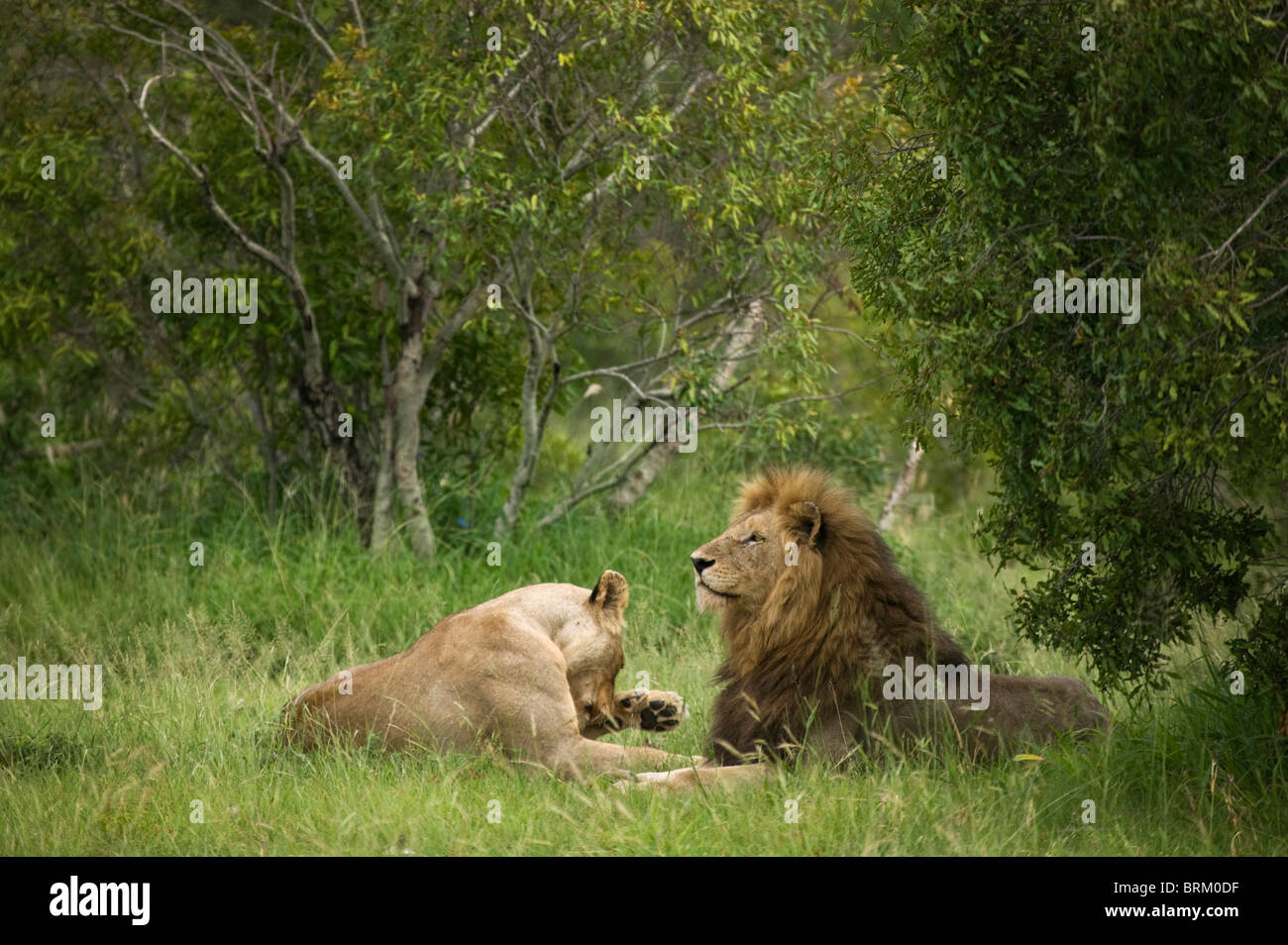 A mating pair of lions resting in dense bushveld - Stock Image