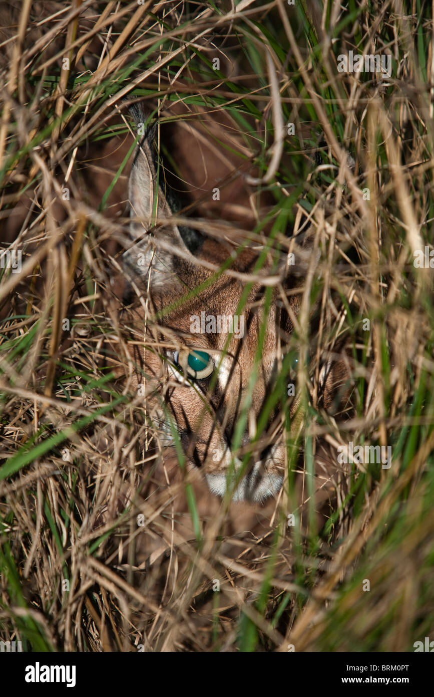 A caracal concealed in long grass - Stock Image