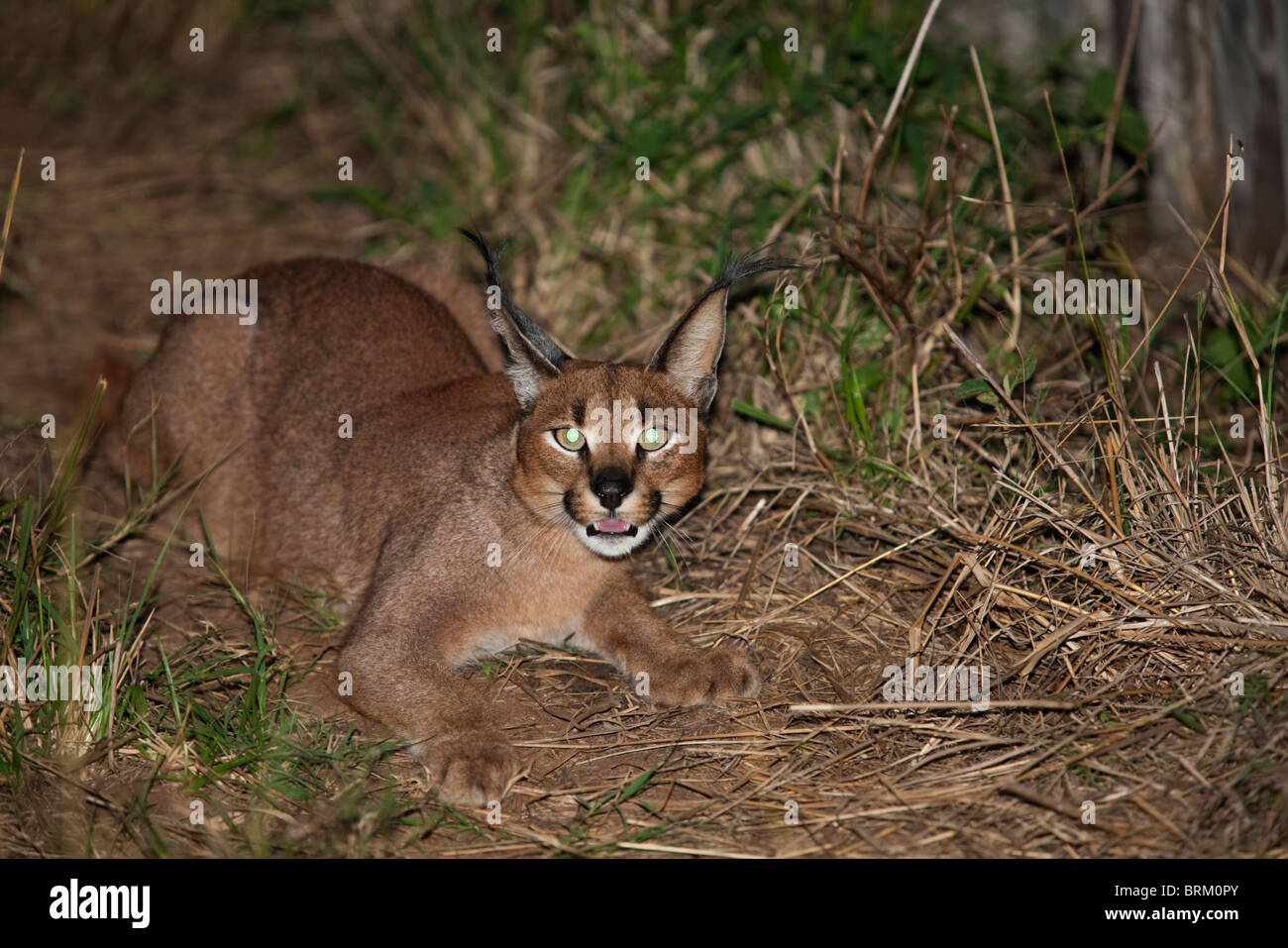 A caracal crouched and snarling at night - Stock Image
