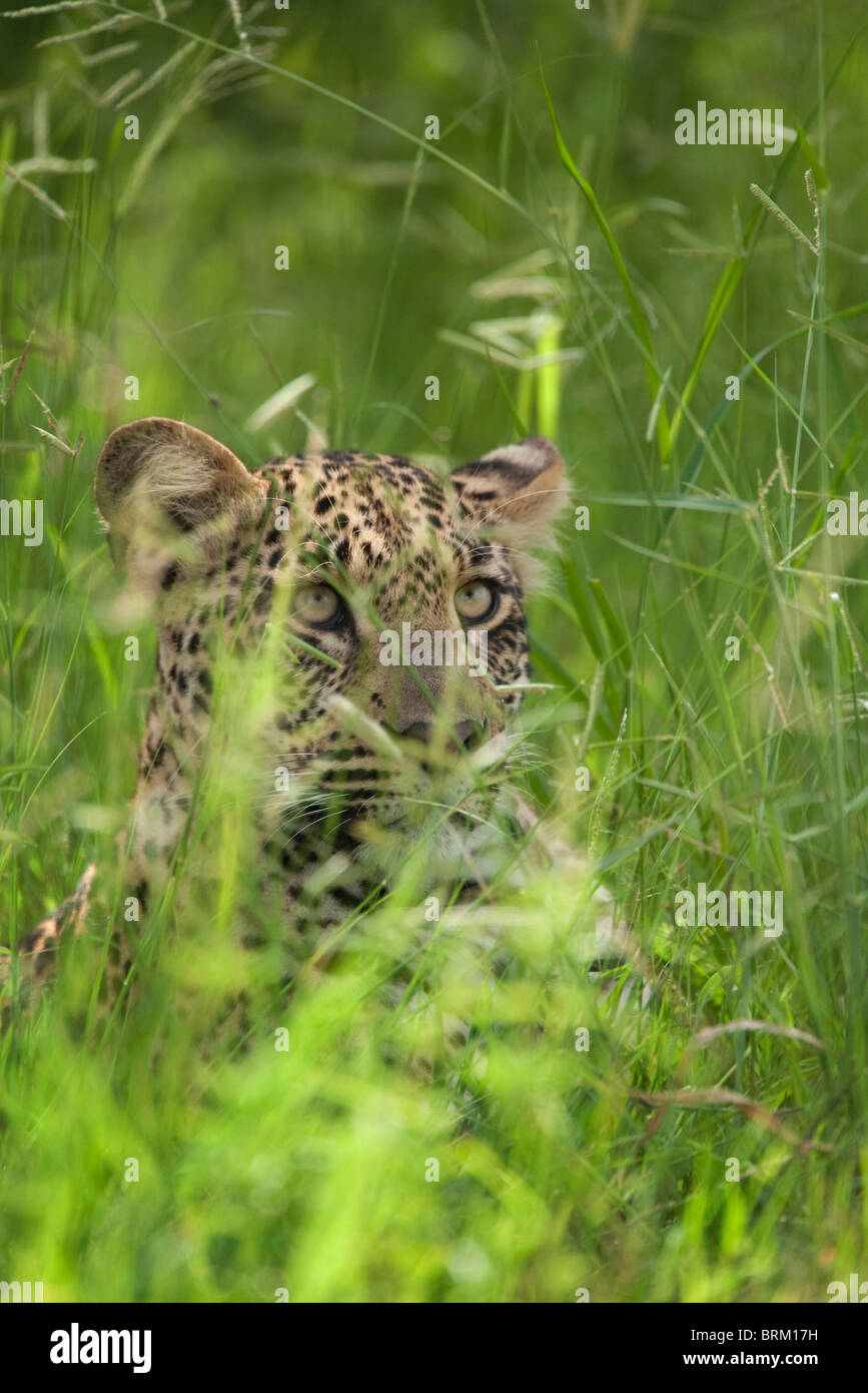 Portrait of a leopard concealed in long lush green grass - Stock Image