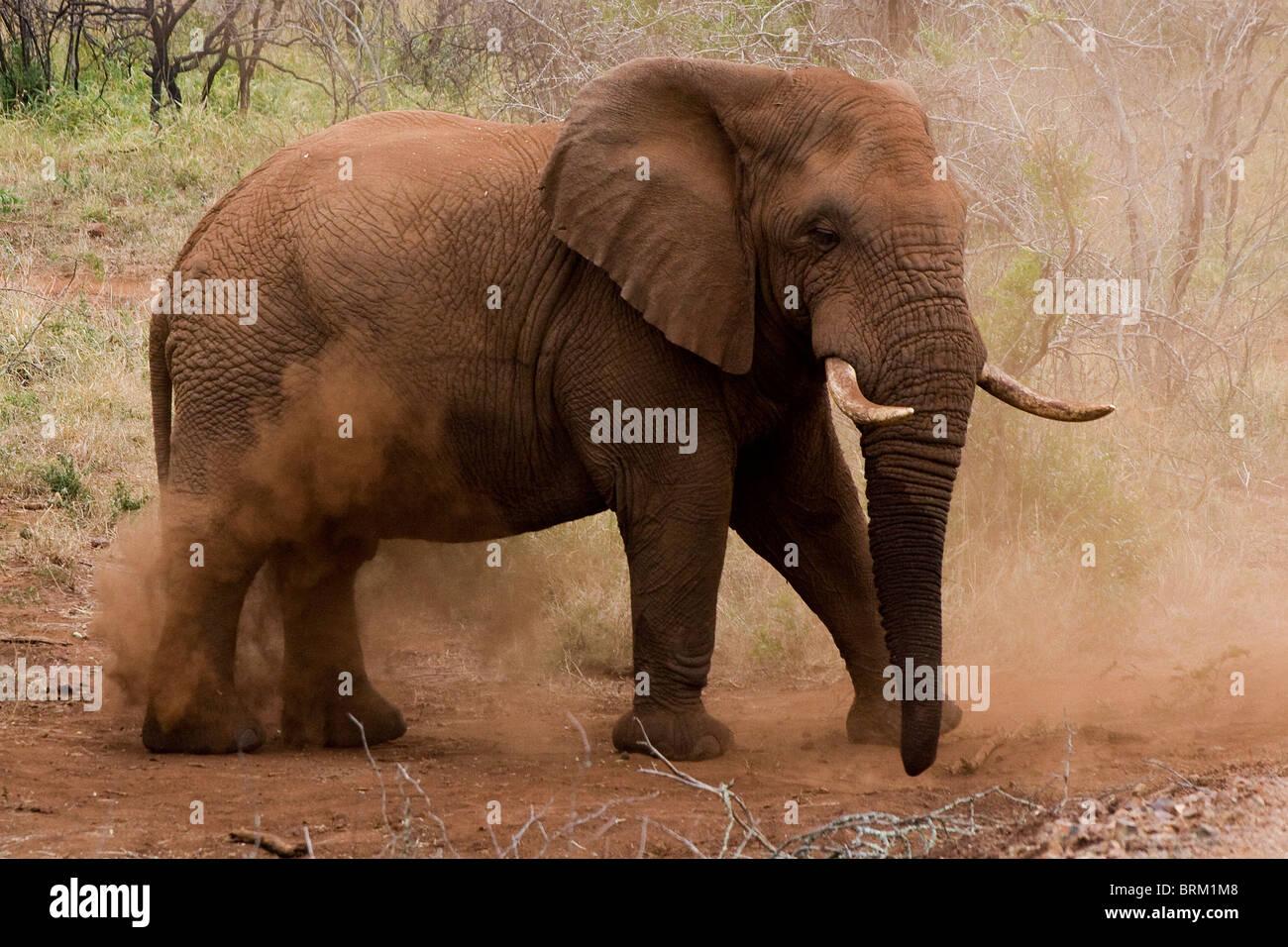 Elephant kicking up red dust - Stock Image