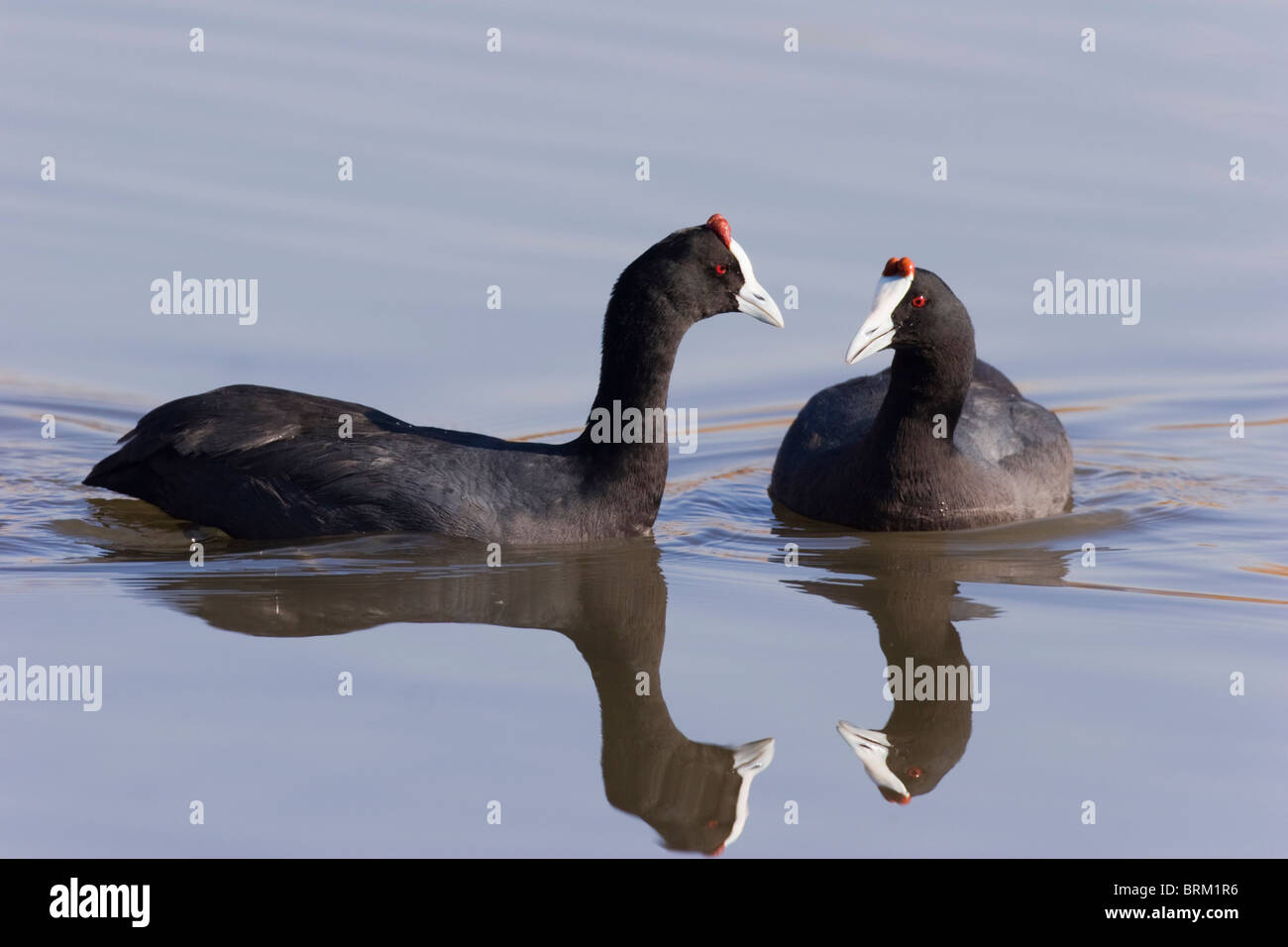 Two Red-knobbed coots facing each other on water Stock Photo
