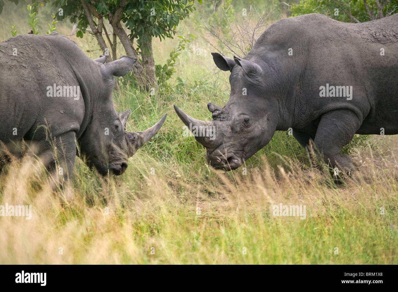 Two adult rhino facing each other Stock Photo