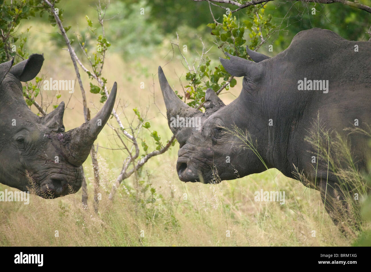 Two territorial bull rhino facing each other - Stock Image