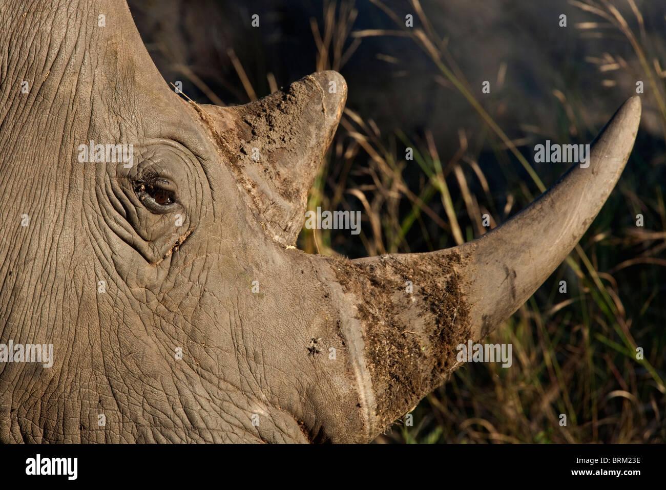 Closeup of a rhino horn and eye - Stock Image