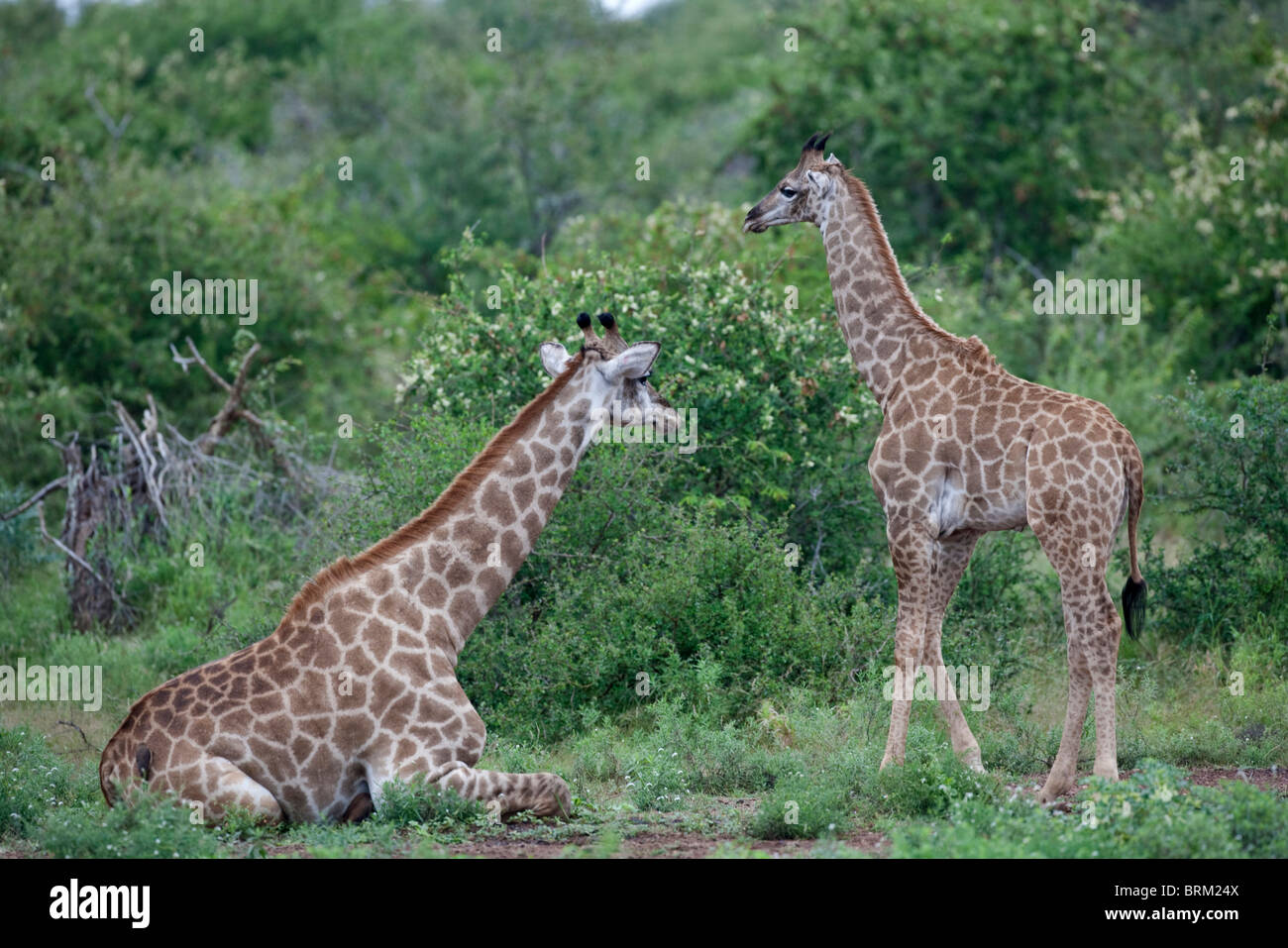 Giraffe resting on the ground with a youngster standing nearby - Stock Image