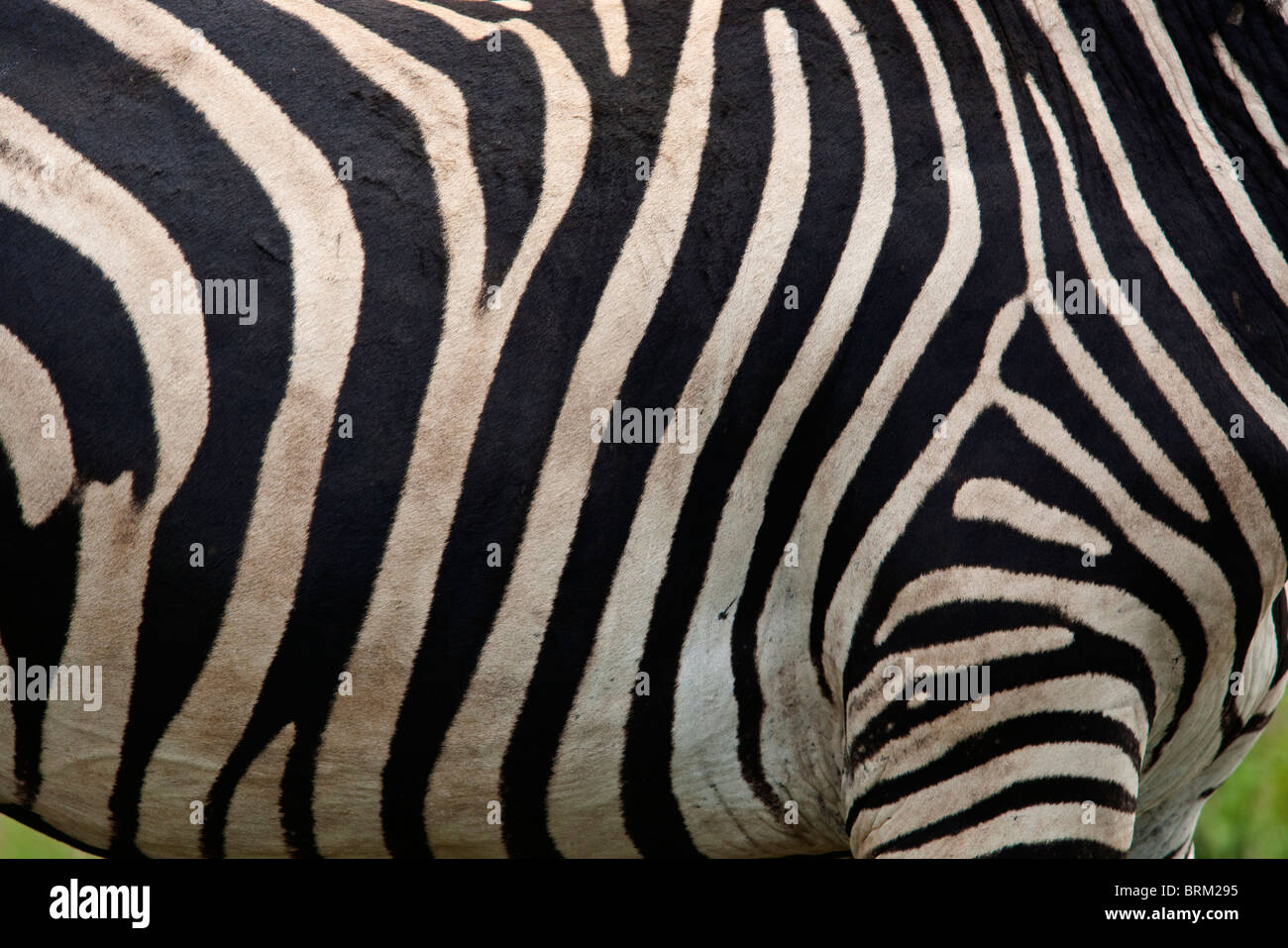 Close up of a zebra flank - Stock Image
