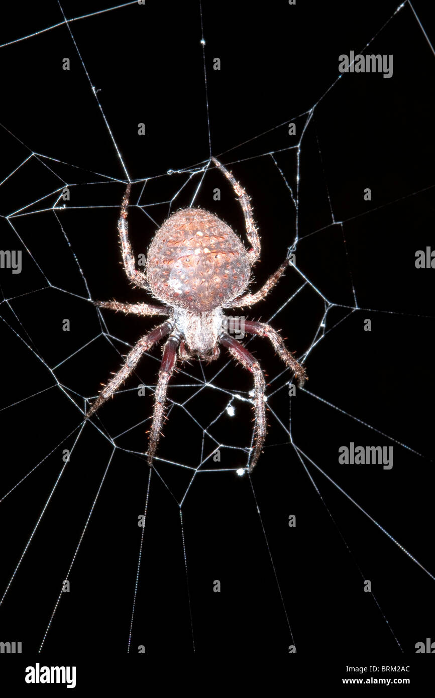 A spider on its web at night - Stock Image