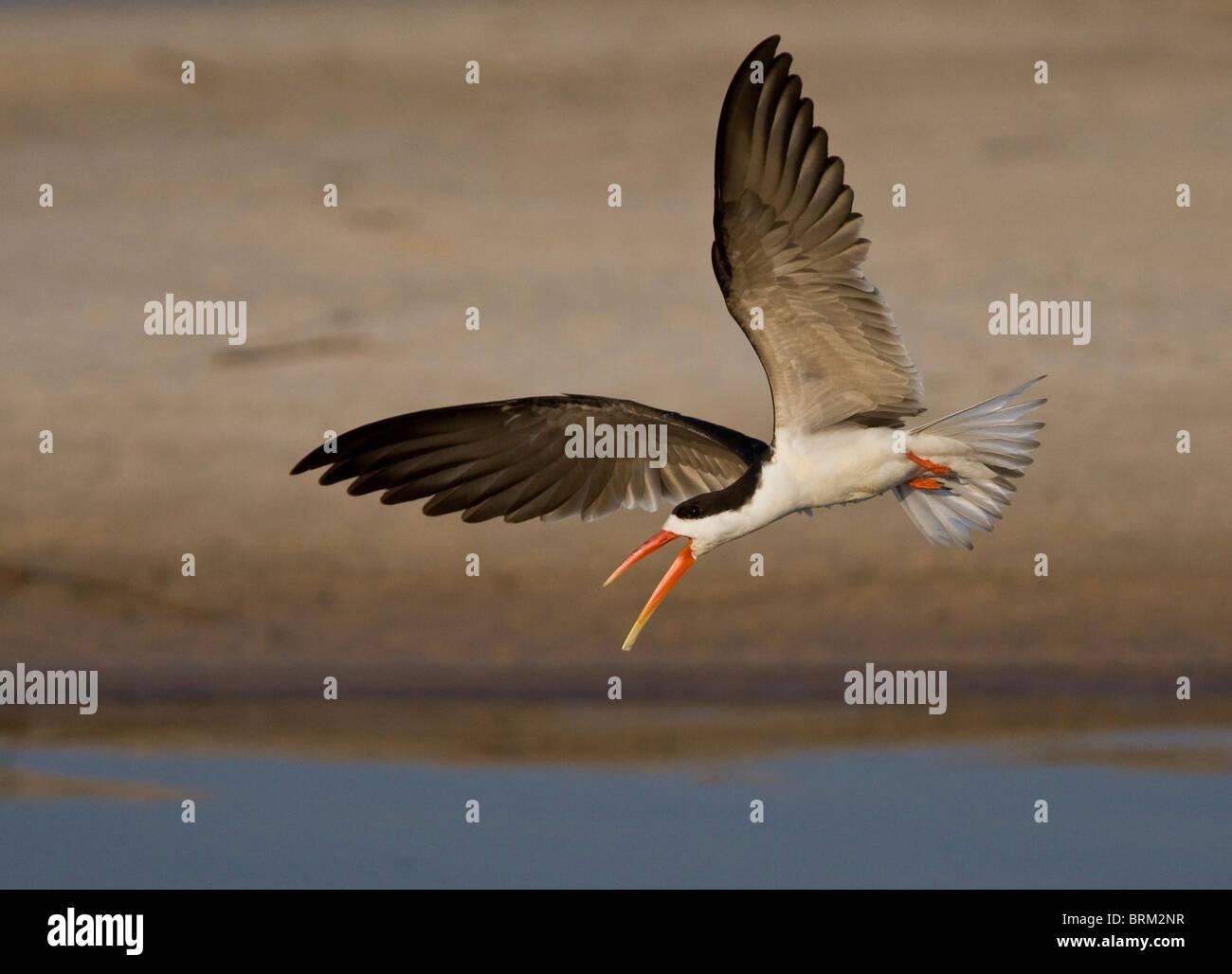 African skimmer in flight - Stock Image