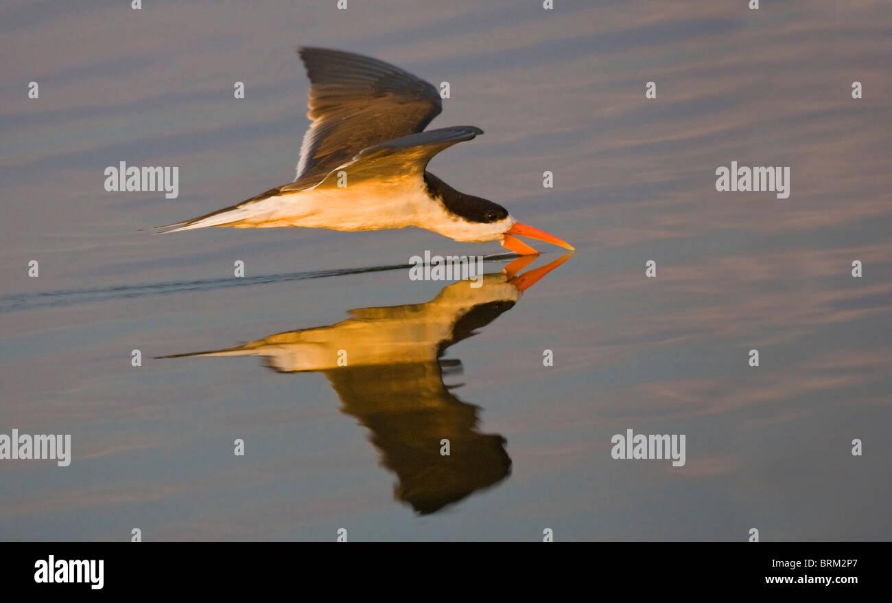 African skimmer skimming for fish - Stock Image
