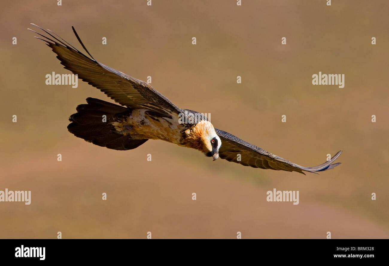 Bearded vulture (Lammergeier) soaring - Stock Image