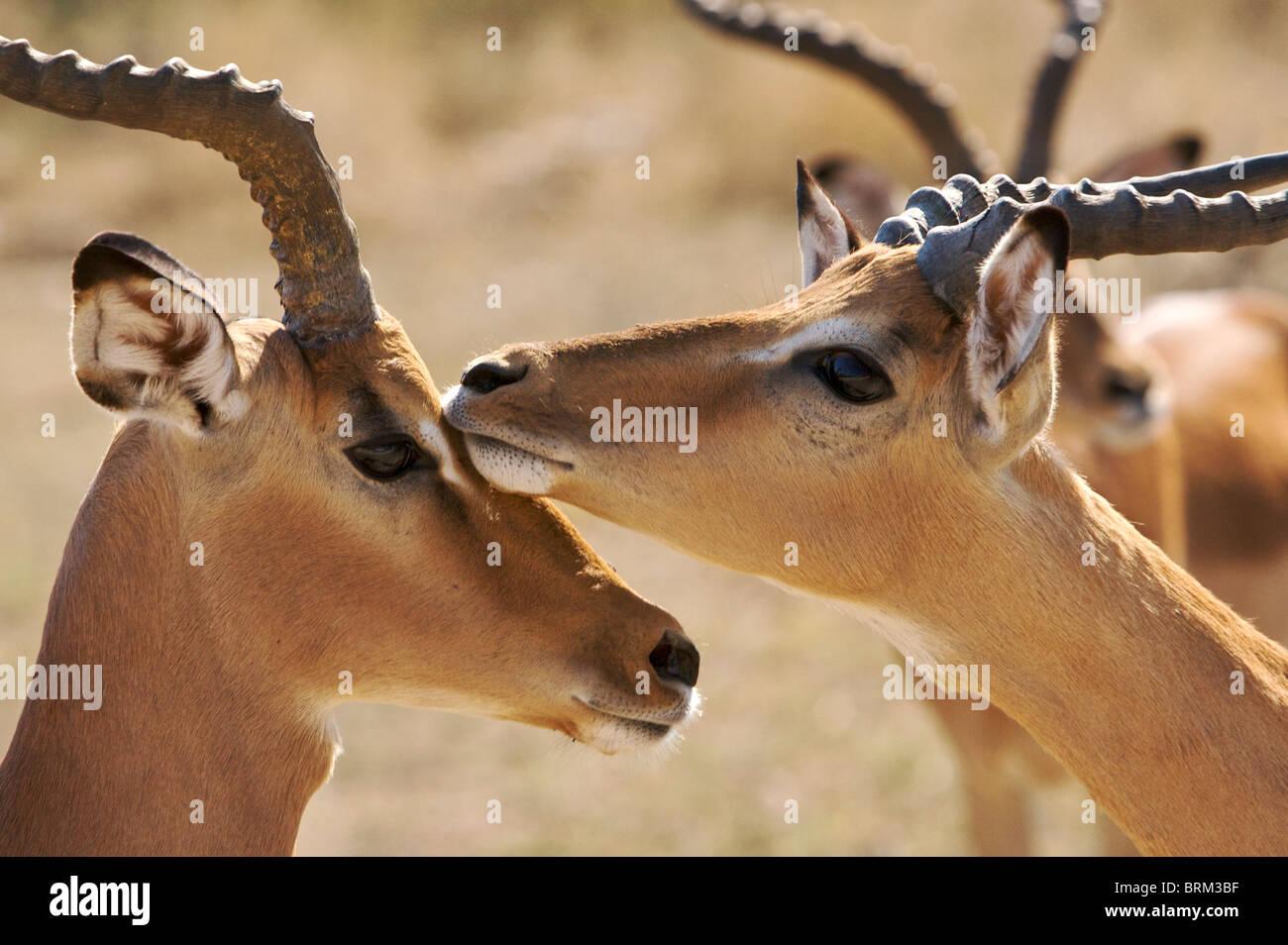 Male Impala touch during rutting season Stock Photo