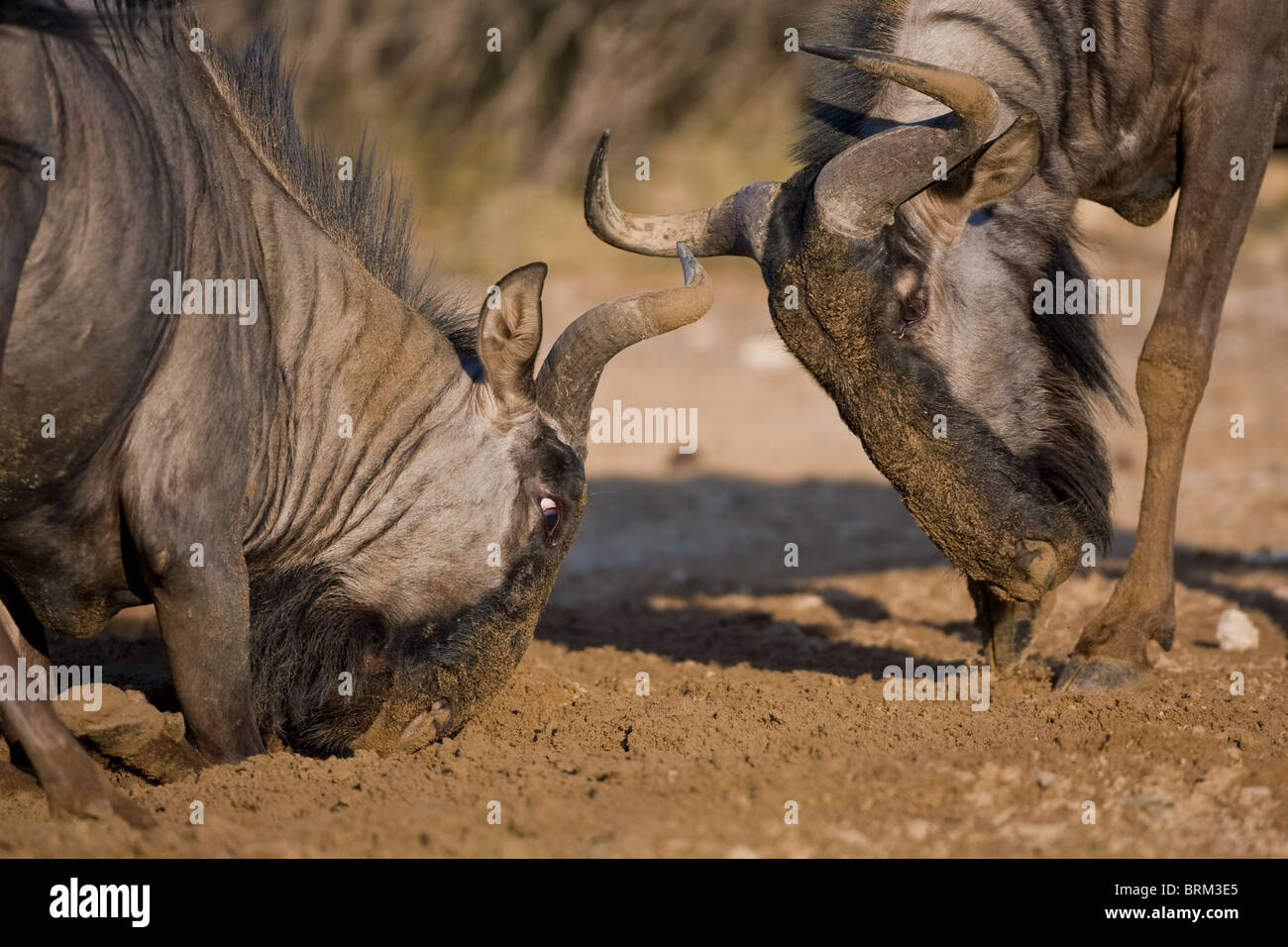 Blue wildebeest squaring up for combat to establish territorial dominance - Stock Image