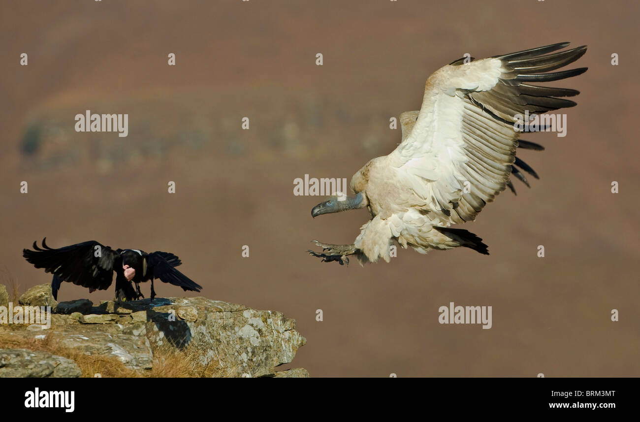 Cape vulture landing at a vulture restaurant as a pied crow beats a hasty retreat with a bone fragment - Stock Image