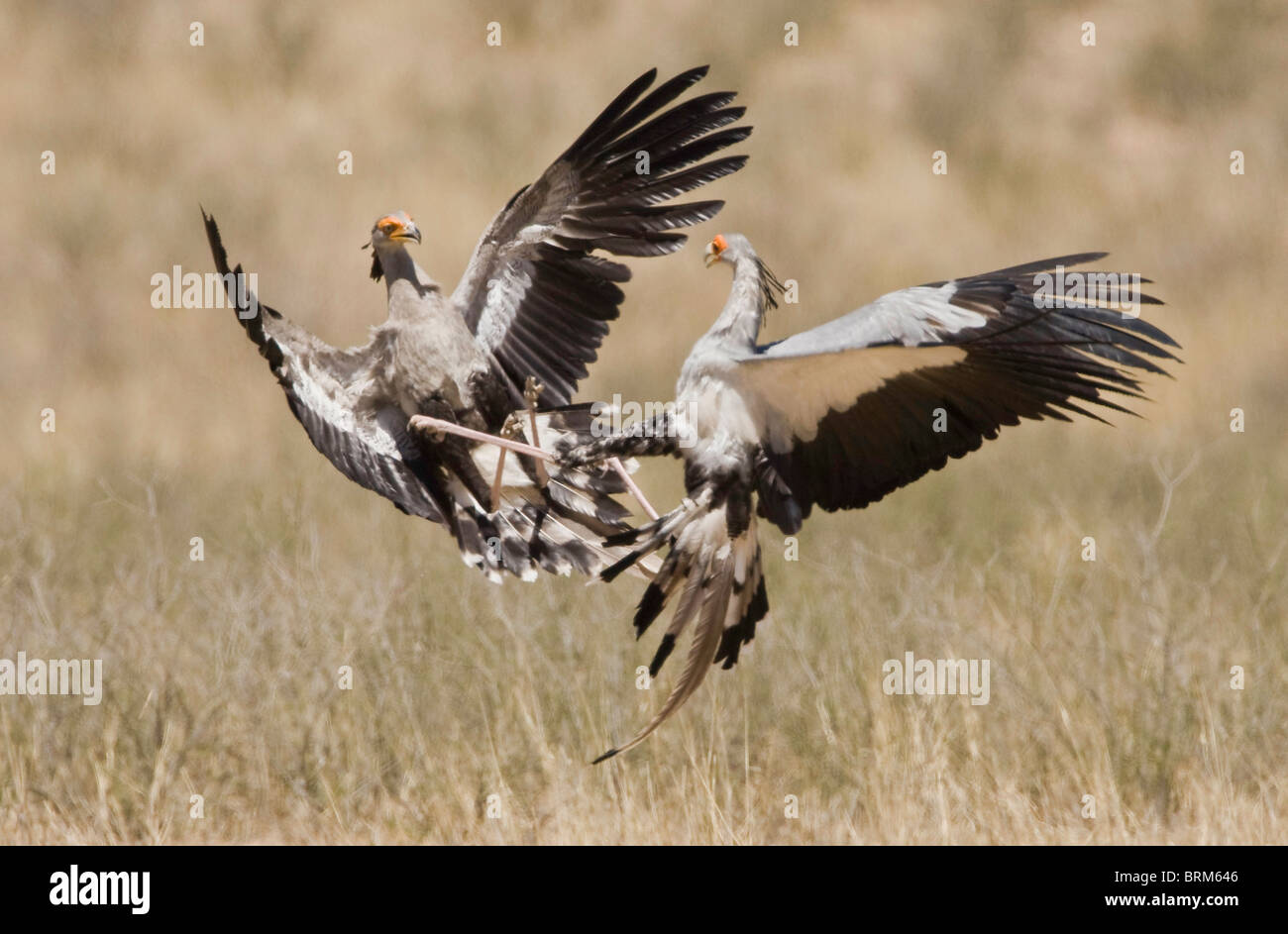 Secretary birds fighting - Stock Image