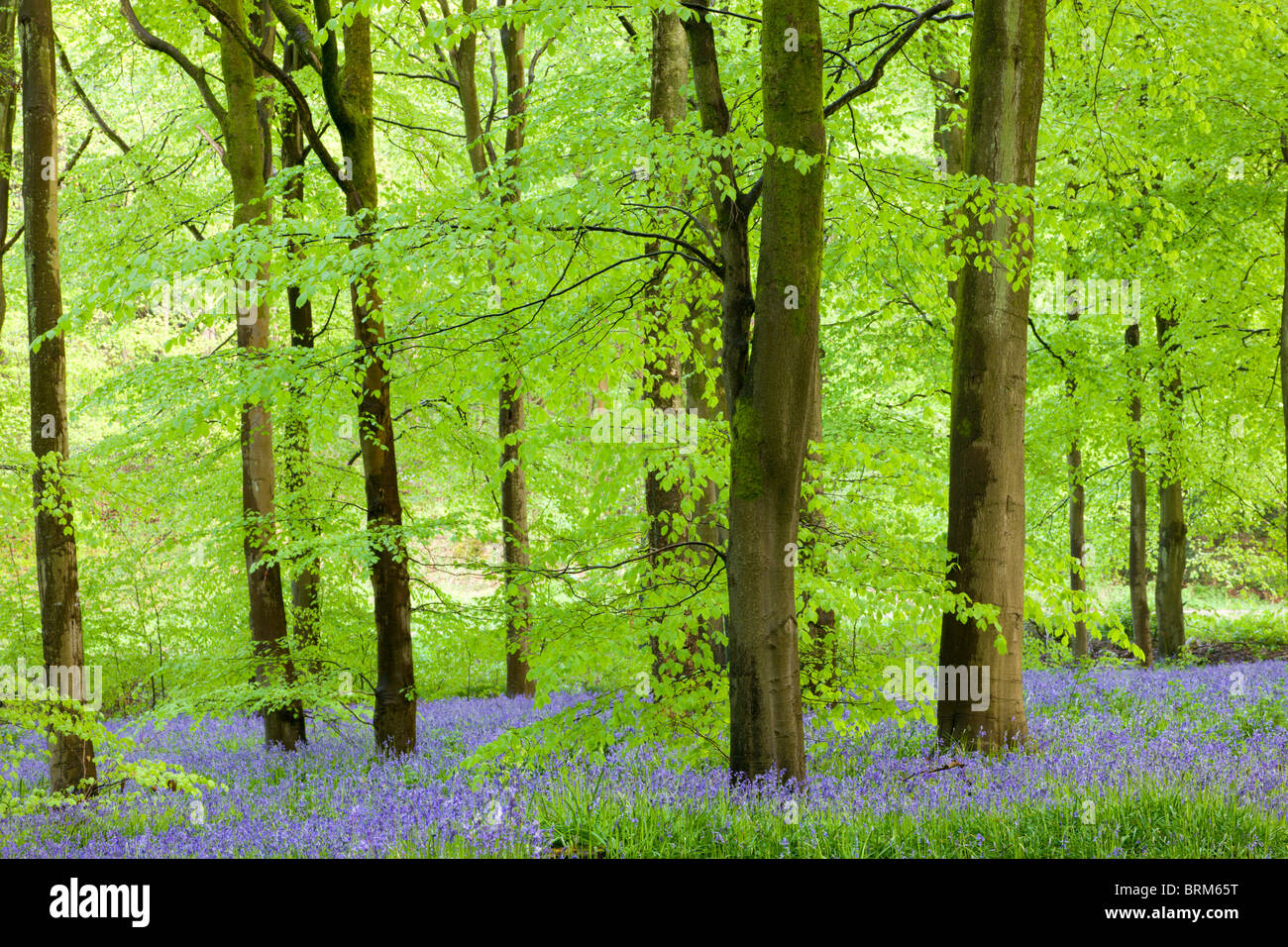 Common Bluebells (Hyacinthoides non-scripta) flowering in a beech wood, West Woods, Lockeridge, Wiltshire, England. - Stock Image