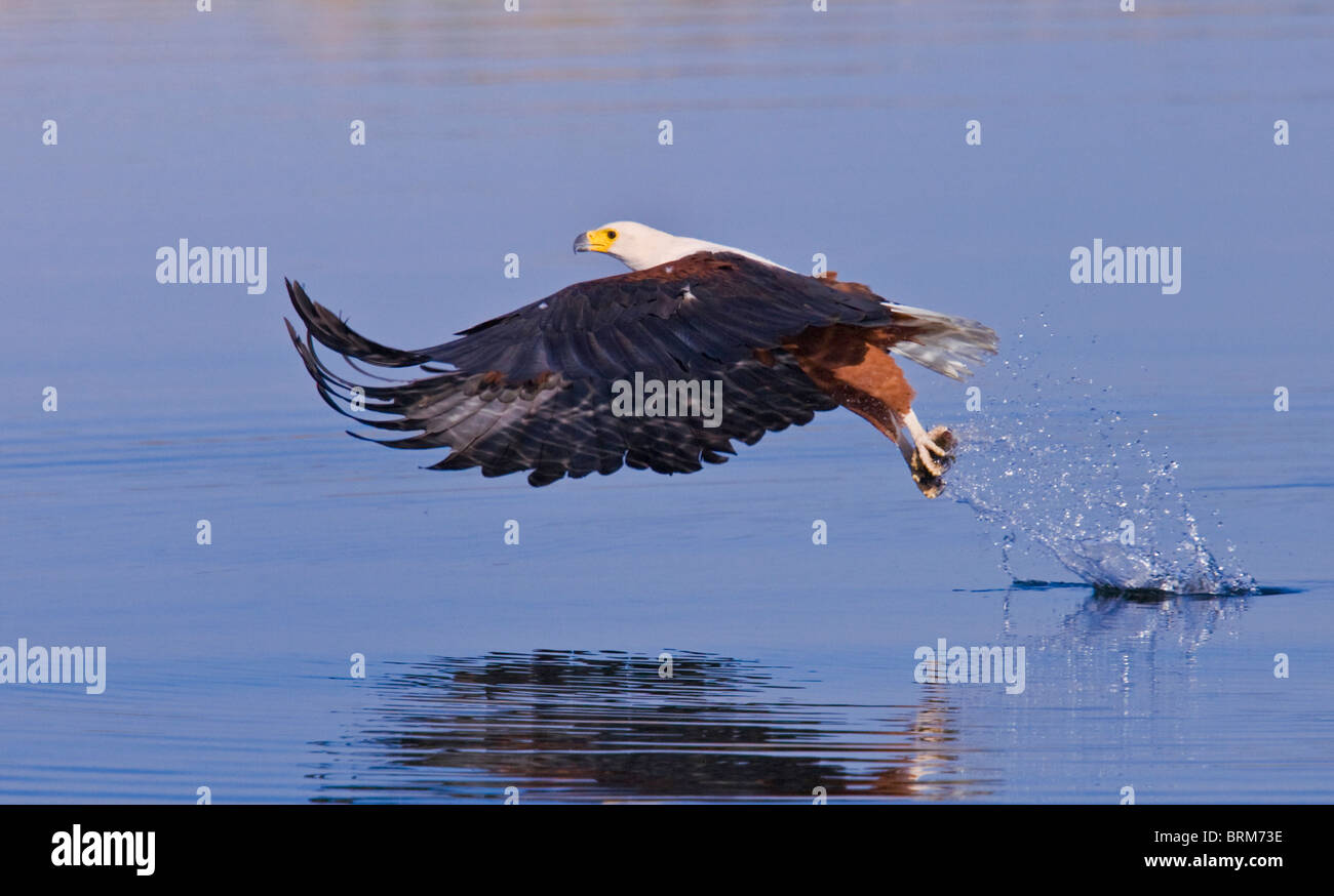African fish eagle with fish in its talons - Stock Image