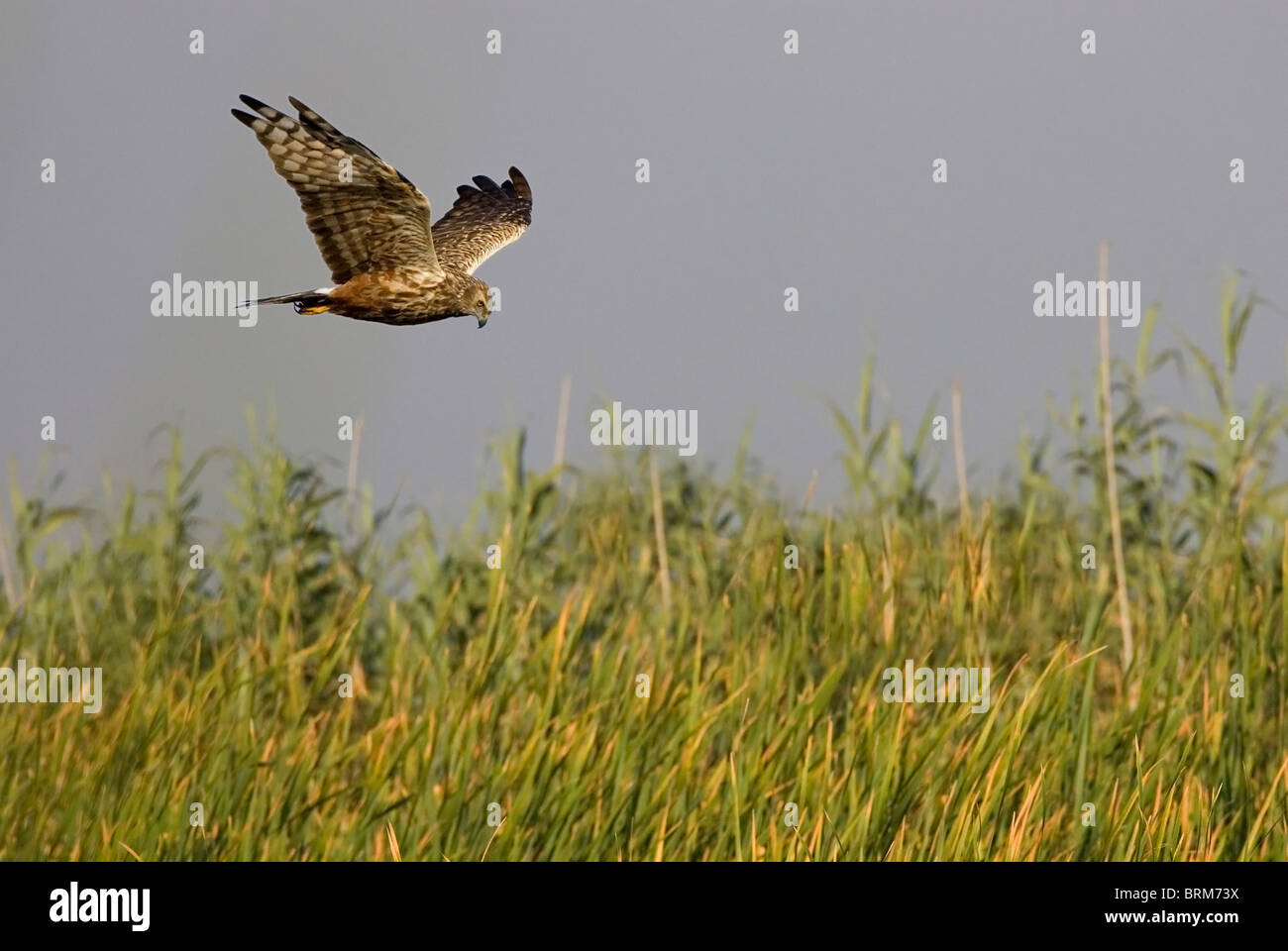 African marsh harrier flying over long grass - Stock Image