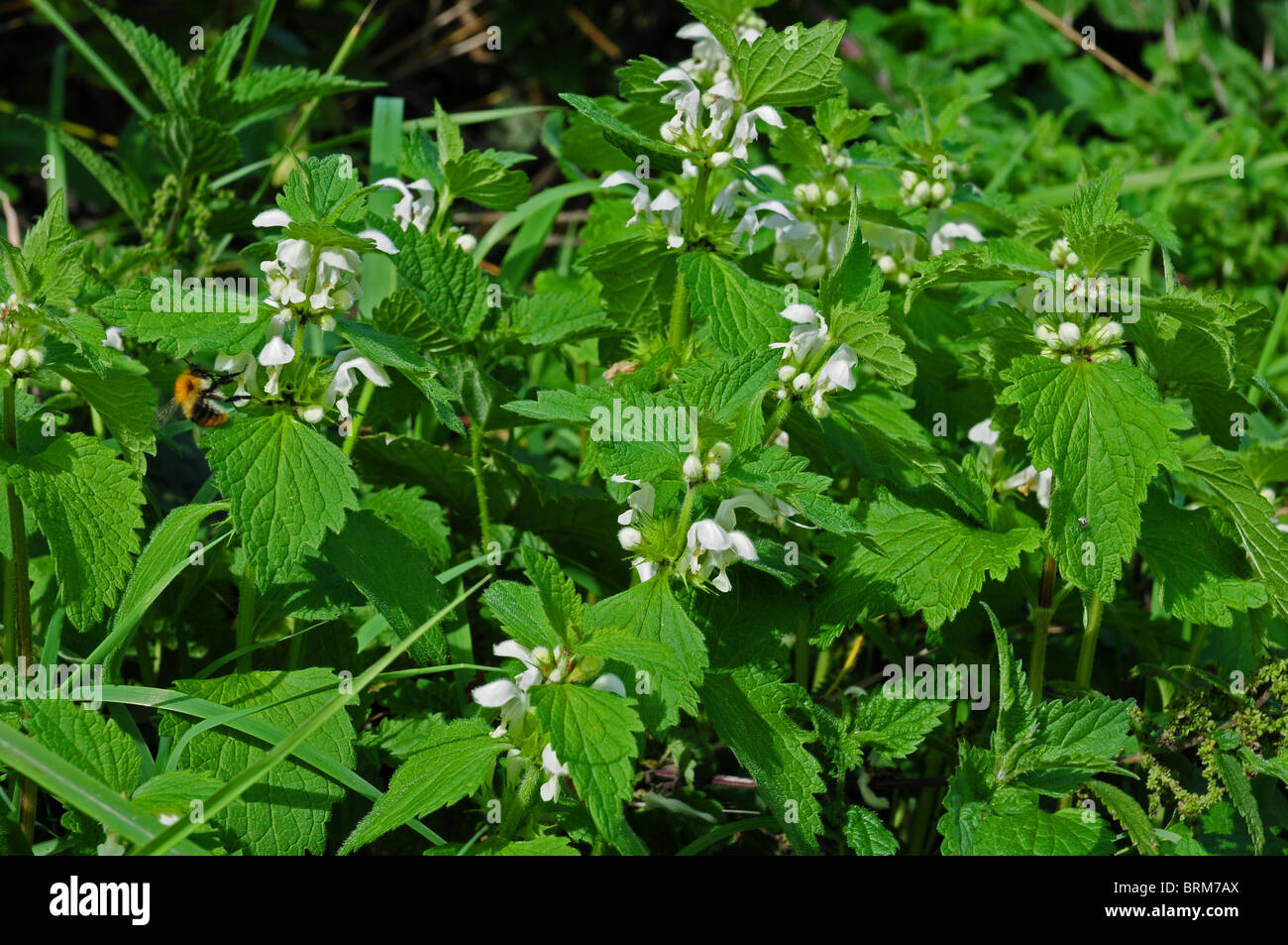 White Dead Nettle  Lamium album with visiting bee. - Stock Image