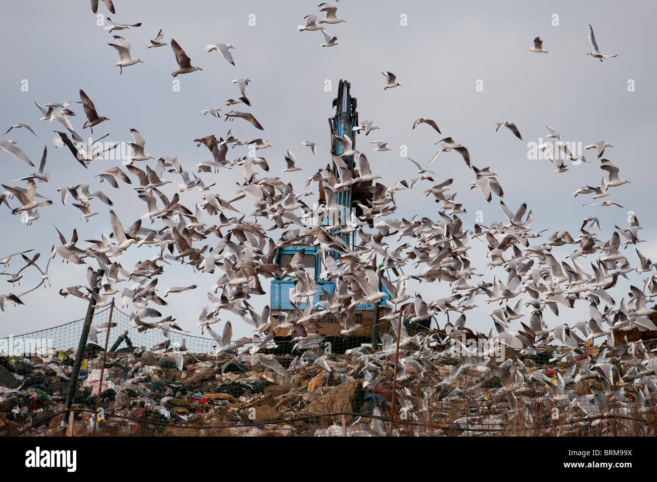 Gulls mainly Herring and Black-headed Gulls on rubbish tip Edgfield Norfolk winter Stock Photo
