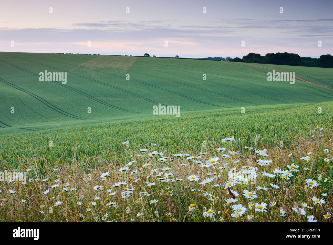 Daisies growing on the edge of a crop field in the South Downs National Park, Hampshire, England. Summer (July) - Stock Image