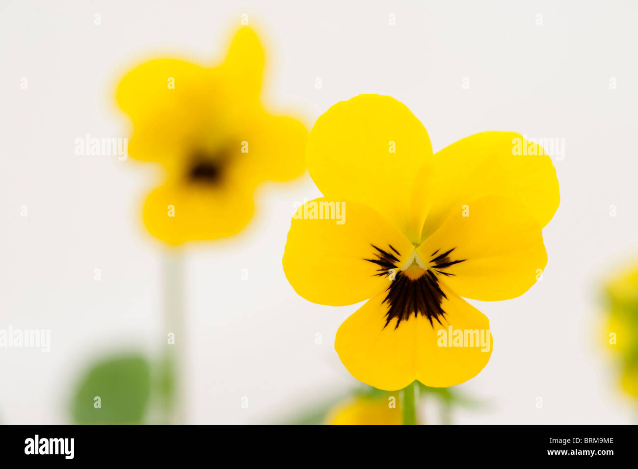 Viola 'Yellow Blotch' in flower - Stock Image