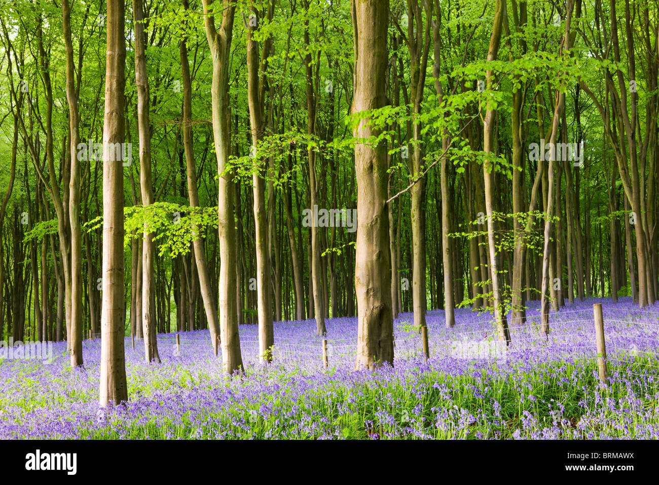 Common Bluebells (Hyacinthoides non-scripta) flowering in West Woods in Springtime, Lockeridge, Marlborough, Wiltshire, Stock Photo