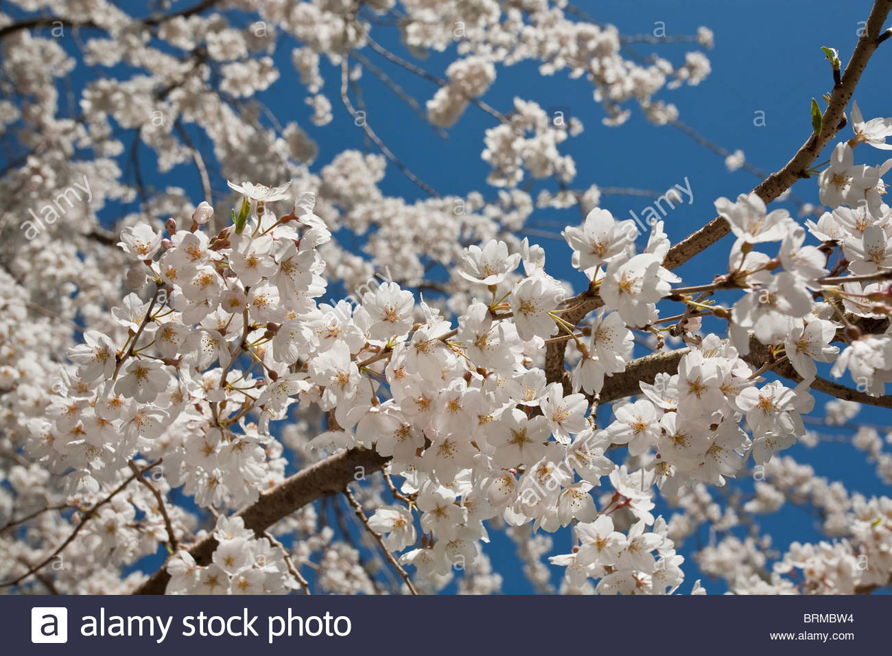 Spring Cherry Blossoms In Brookside Gardens Silver Spring Md Stock