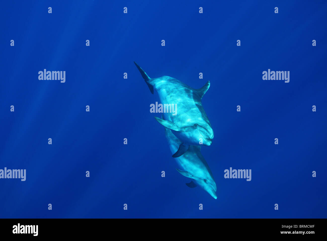 Maternity, motherhood: mother and calf bottlenose dolphins in the blue, Madeira island, dolphin watching, Portugal - Stock Image