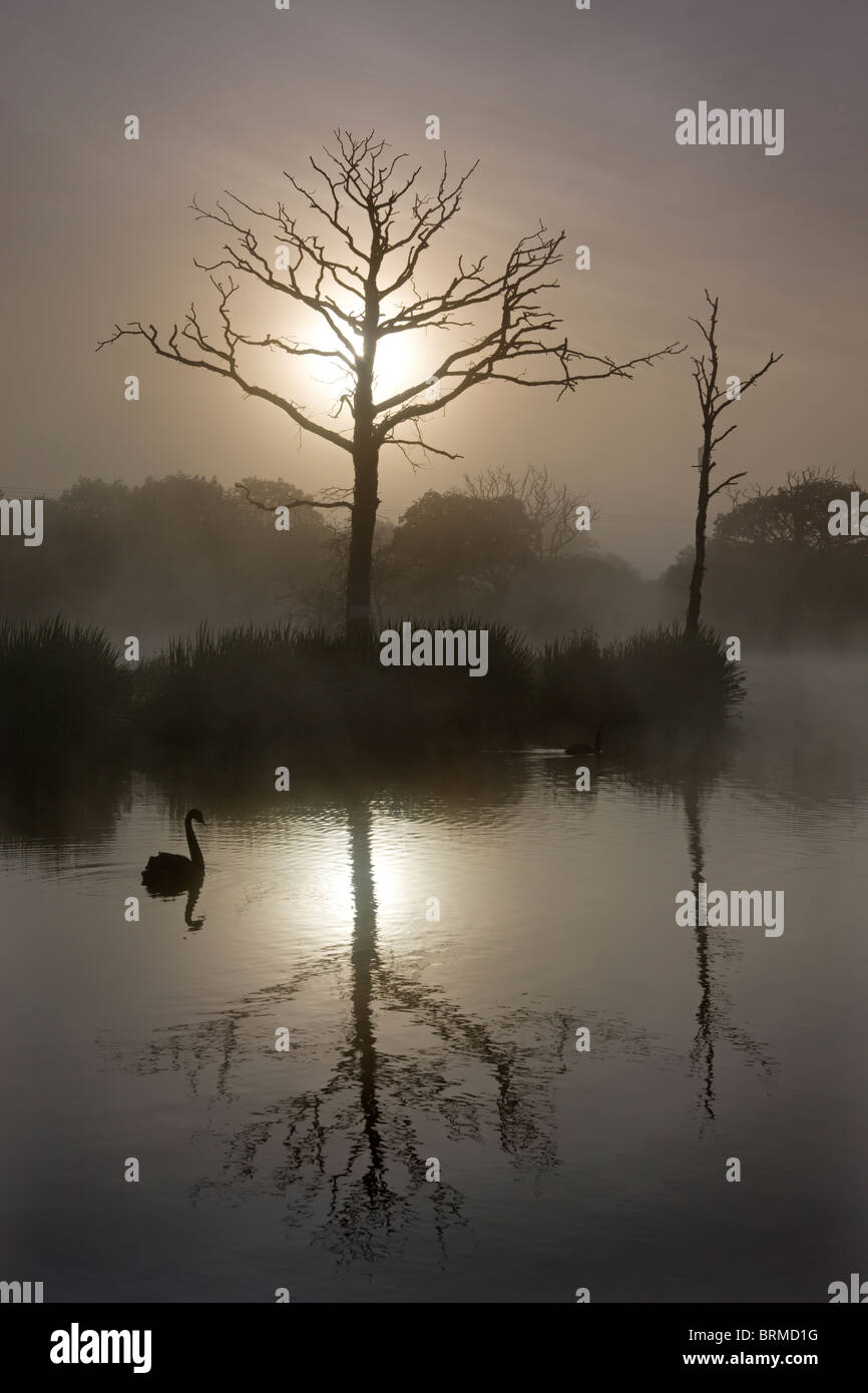 Misty morning on a fishing lake with dead trees and a swan, Morchard Road, Devon, England. - Stock Image