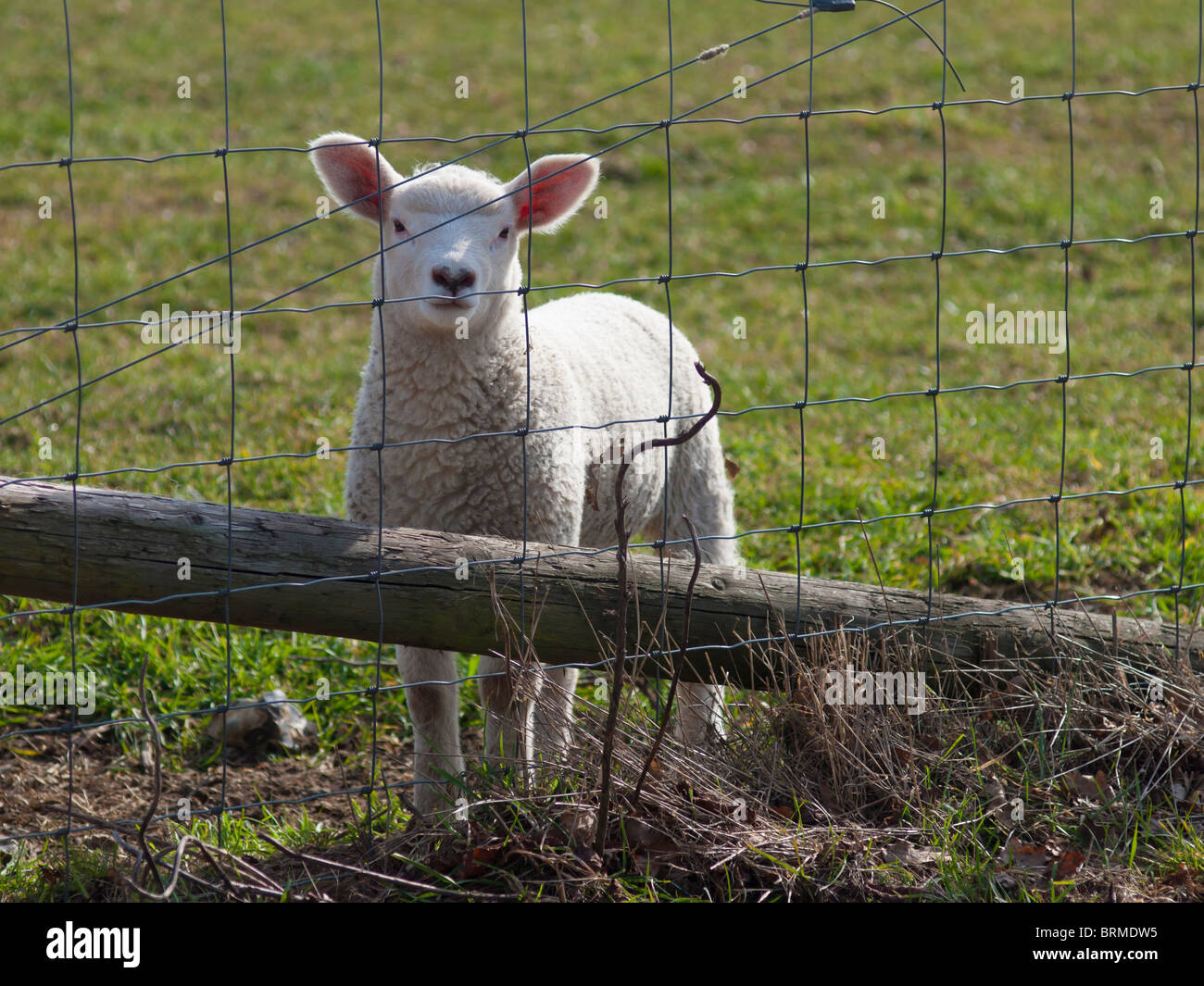 An English Lamb behind a wire fence - Stock Image