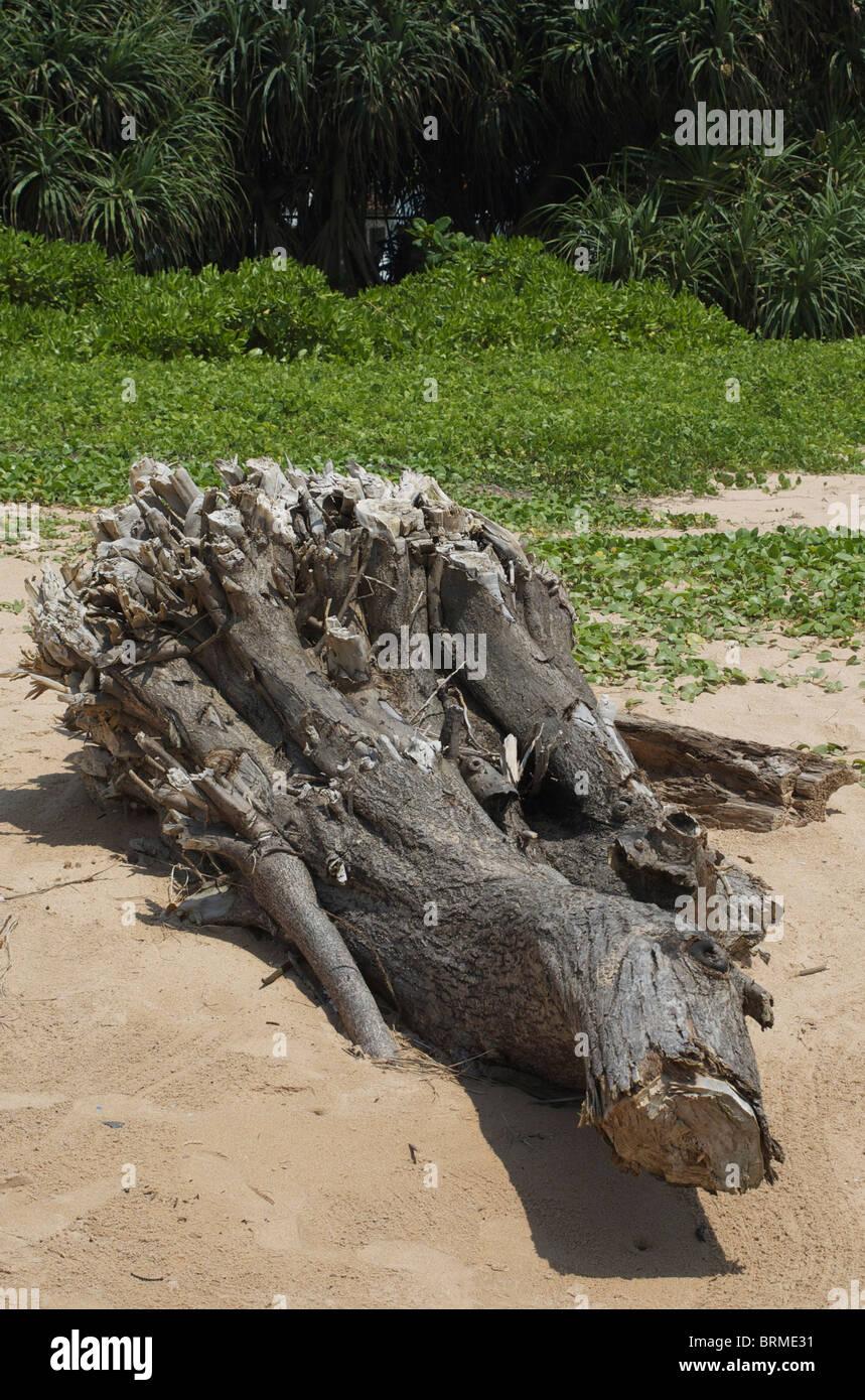 Beach tree - Stock Image
