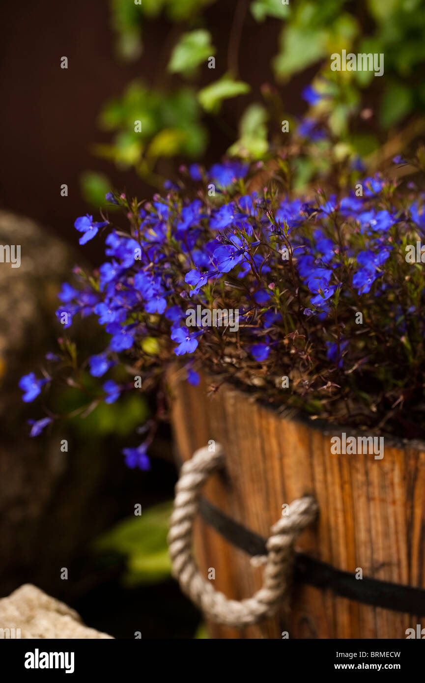 Lobelia Bush Dark Blue Crystal Palace Growing In A Wooden Barrel