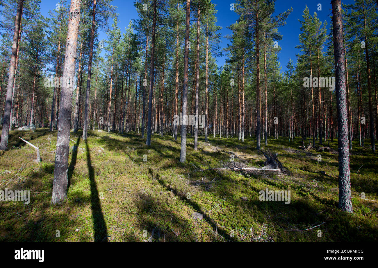 Young pine forest  ( Pinus sylvestris ) at dry sandy esker , Finland - Stock Image