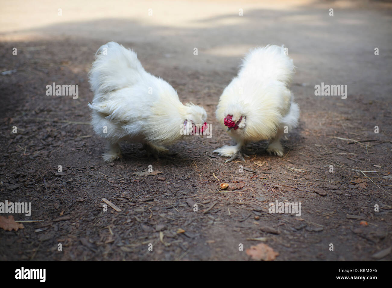 Two hens - Stock Image