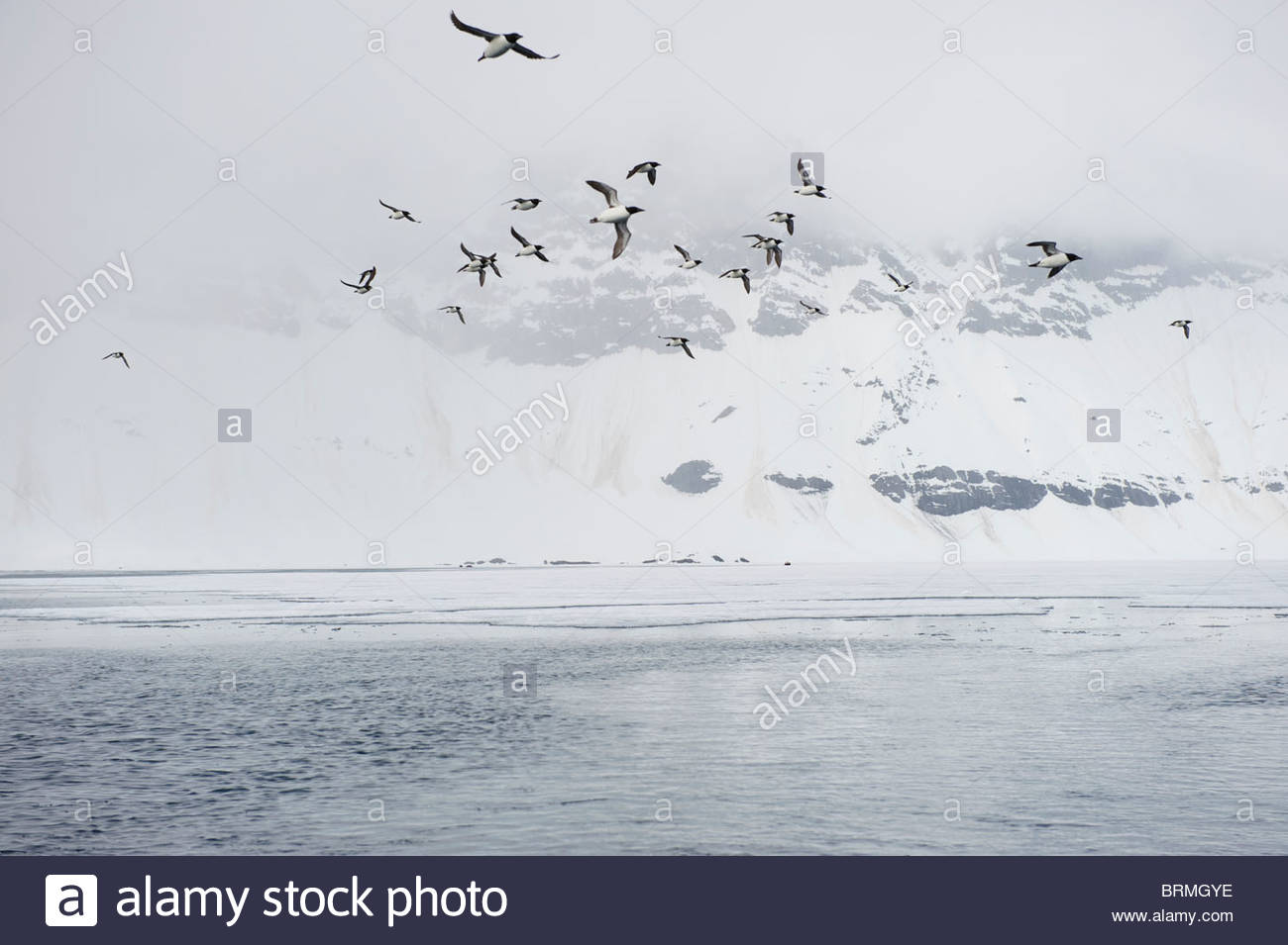 Common Guillemots (Uria aalge) fly in foggy Hornsund Stock Photo