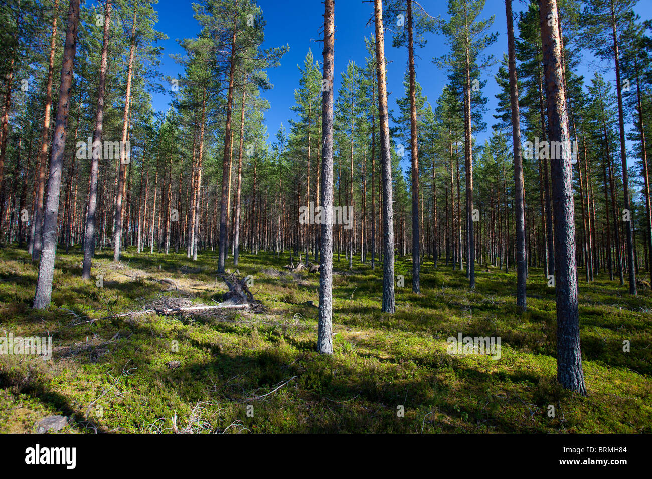 Young pine ( Pinus sylvestris ) forest growing at dry heathland , Finland - Stock Image